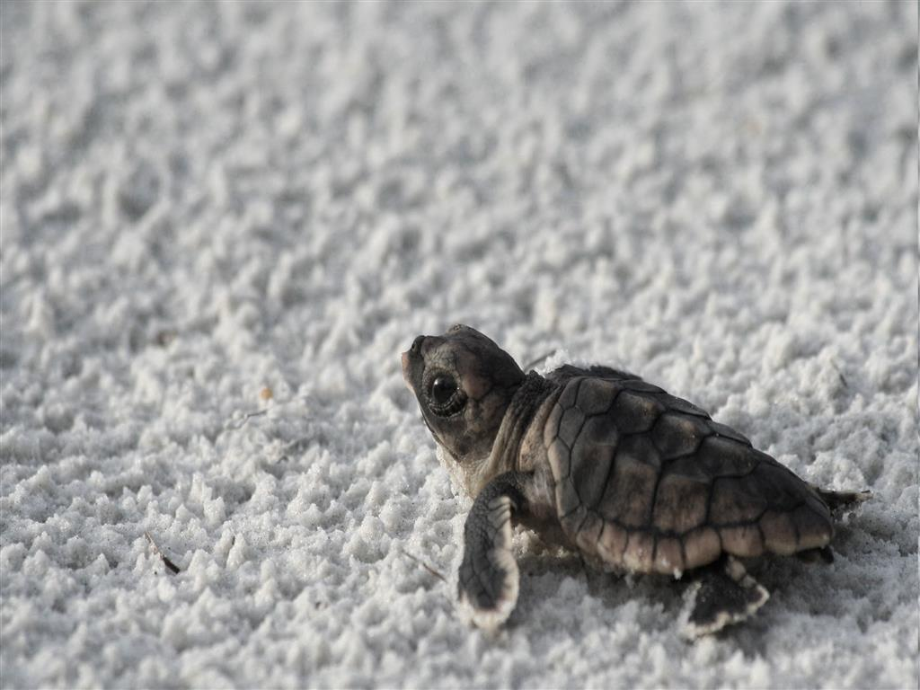 1024x768 Baby Turtle on Beach