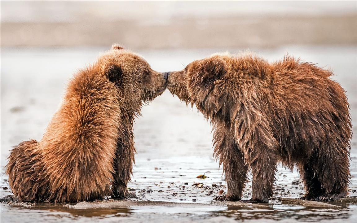 1152x720 Two Brown Bear Kissing