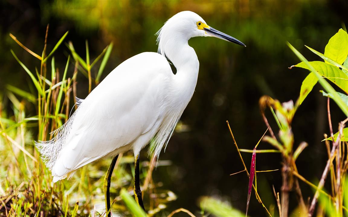 1152x720 White Heron Bird in Jungle 5K Wallpaper