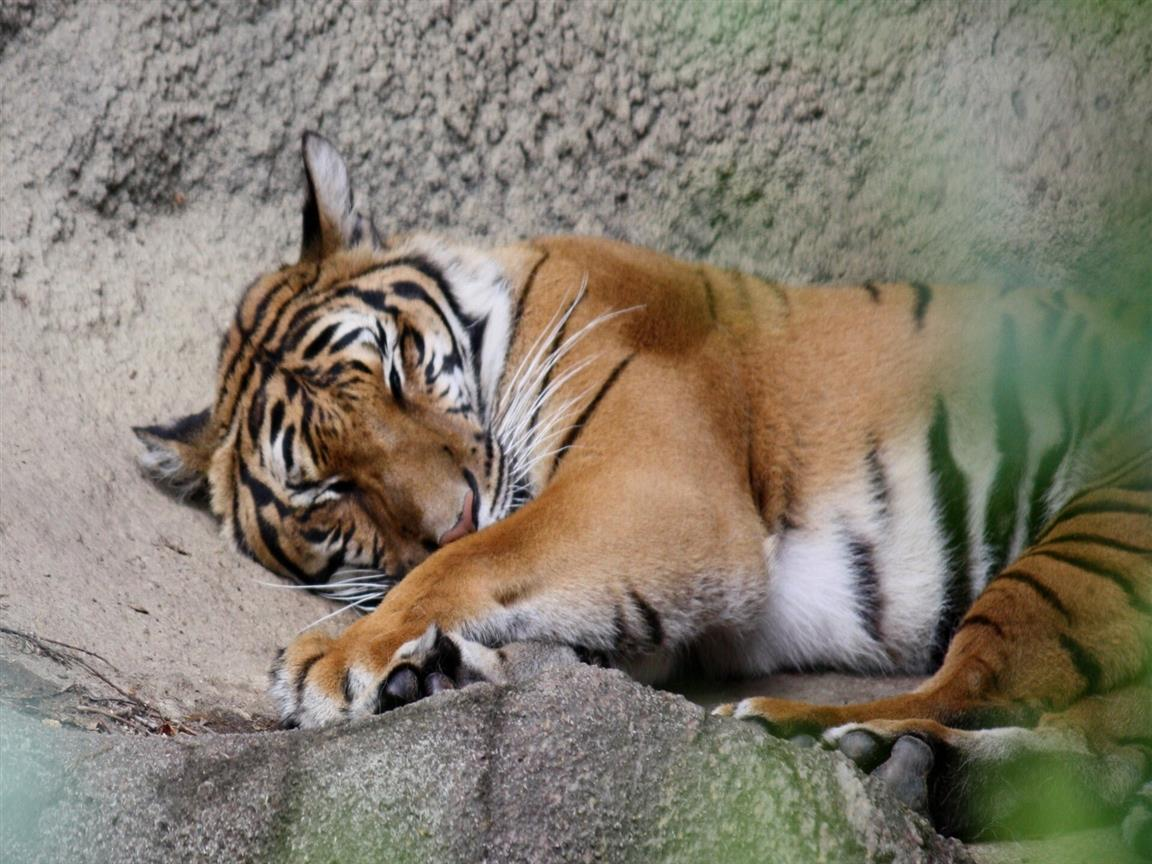 1152x864 Animal Tiger Sleeping Photo