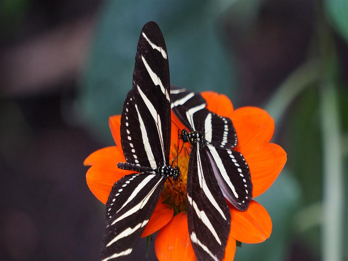 1152x864 Black and White Butterflies on Orange Flower 5K Wallpaper