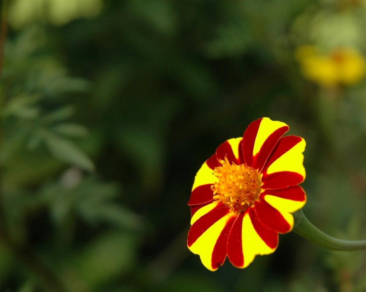 1280x1024 Red and Yellow Flower Photo