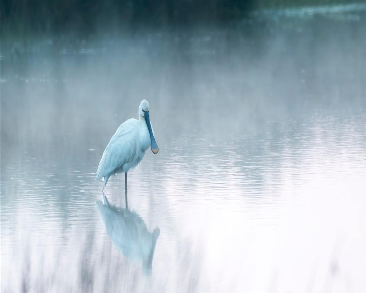 1280x1024 White Spoonbills 4K Wallpaper
