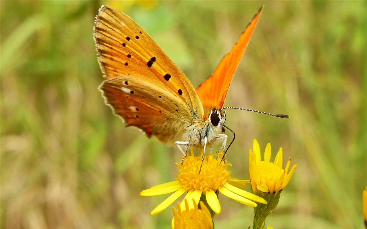 1280x800 Beautiful Orange Butterfly on Sunflower