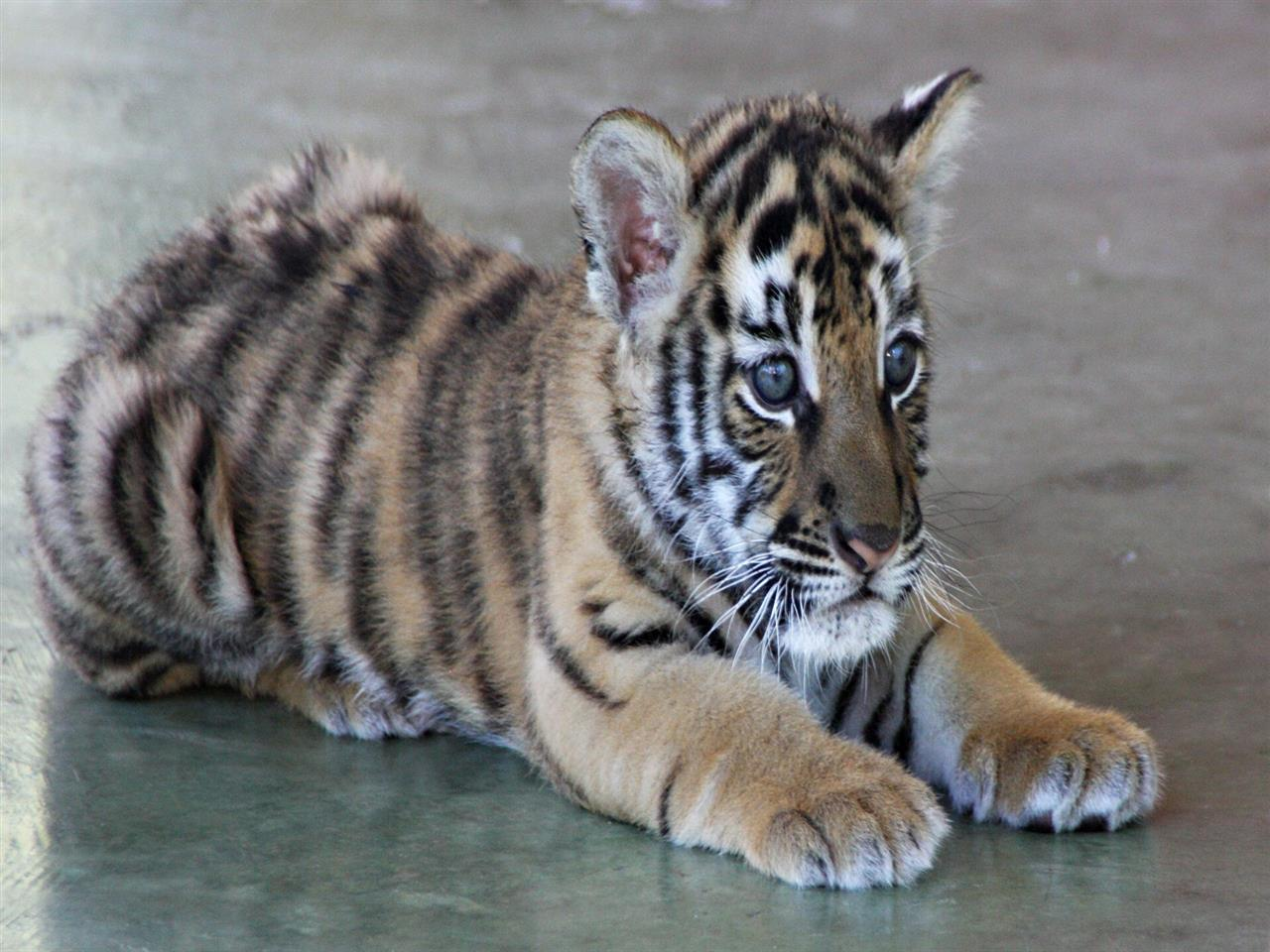1280x960 Cute Tiger Cub High Quality Photo