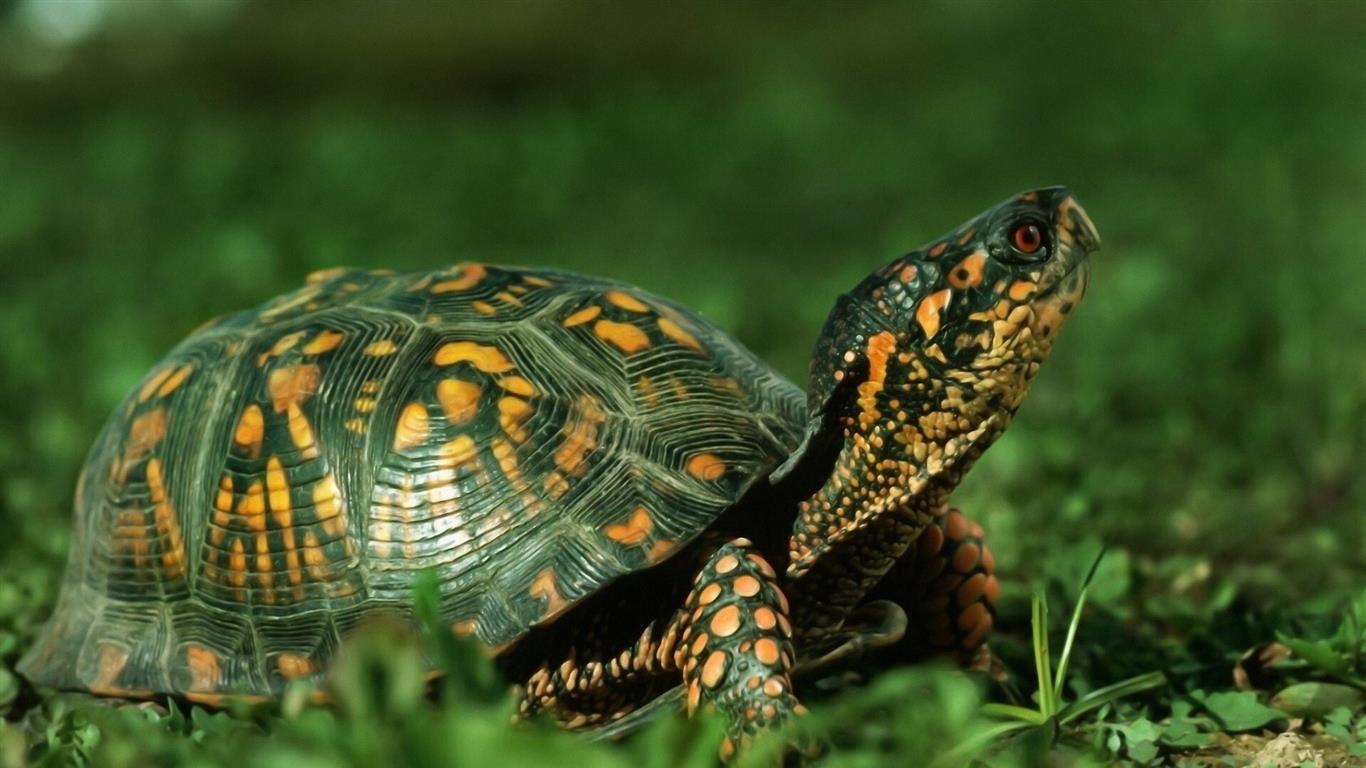 1366x768 Beautiful Green Turtle Animal