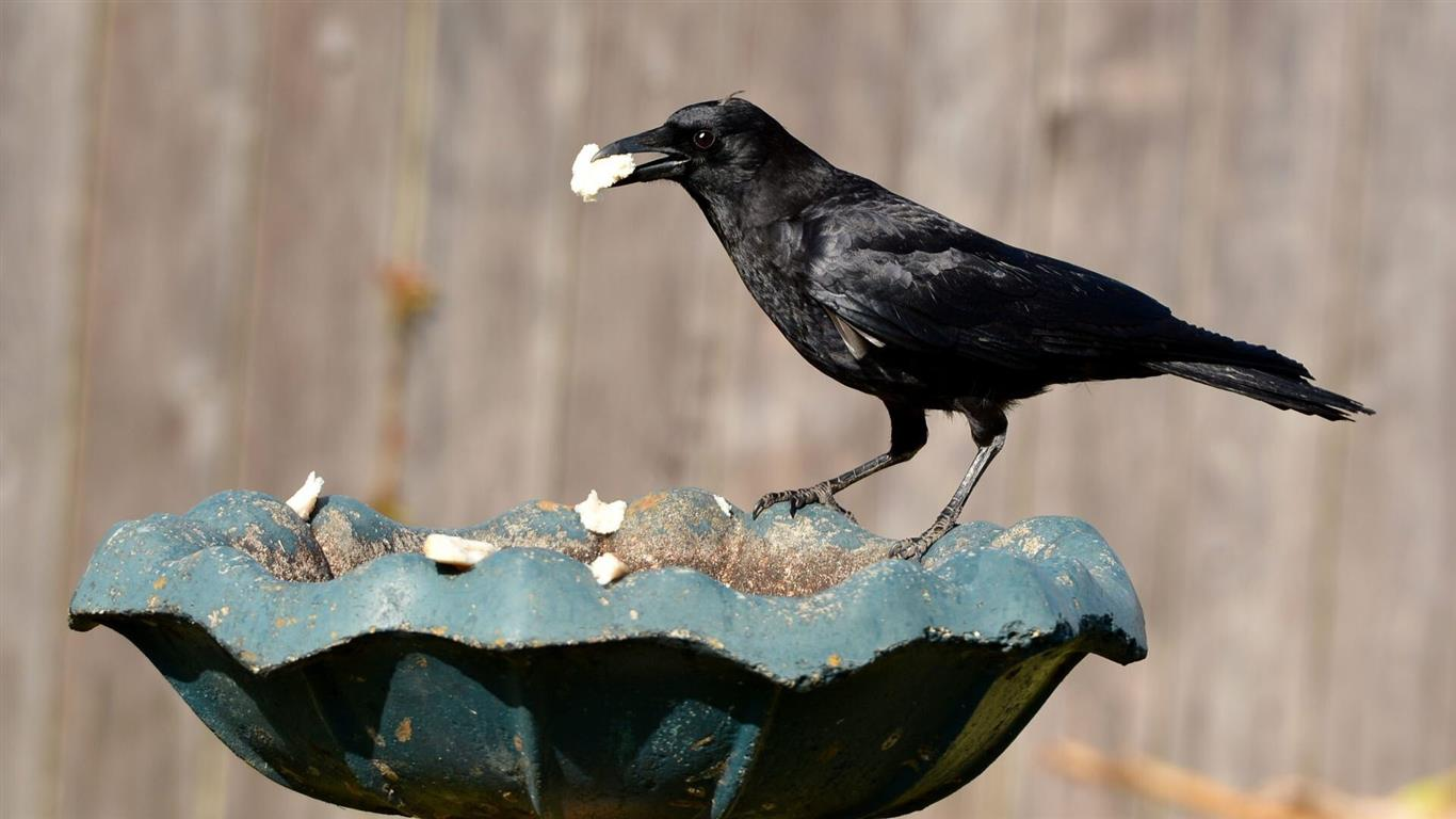 1366x768 Crow Eating
