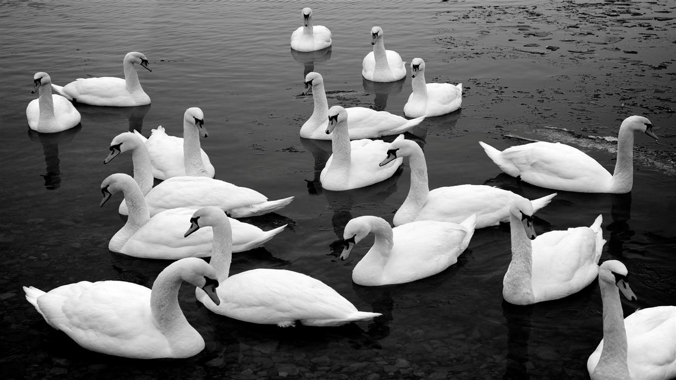 1366x768 Group of Swan in Lake HD Image