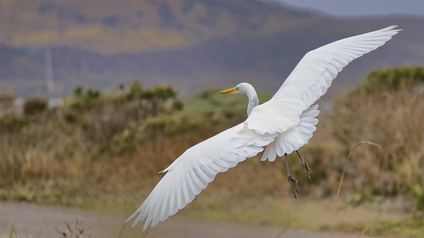 1366x768 White Bird Flying in Sky HD Pictures