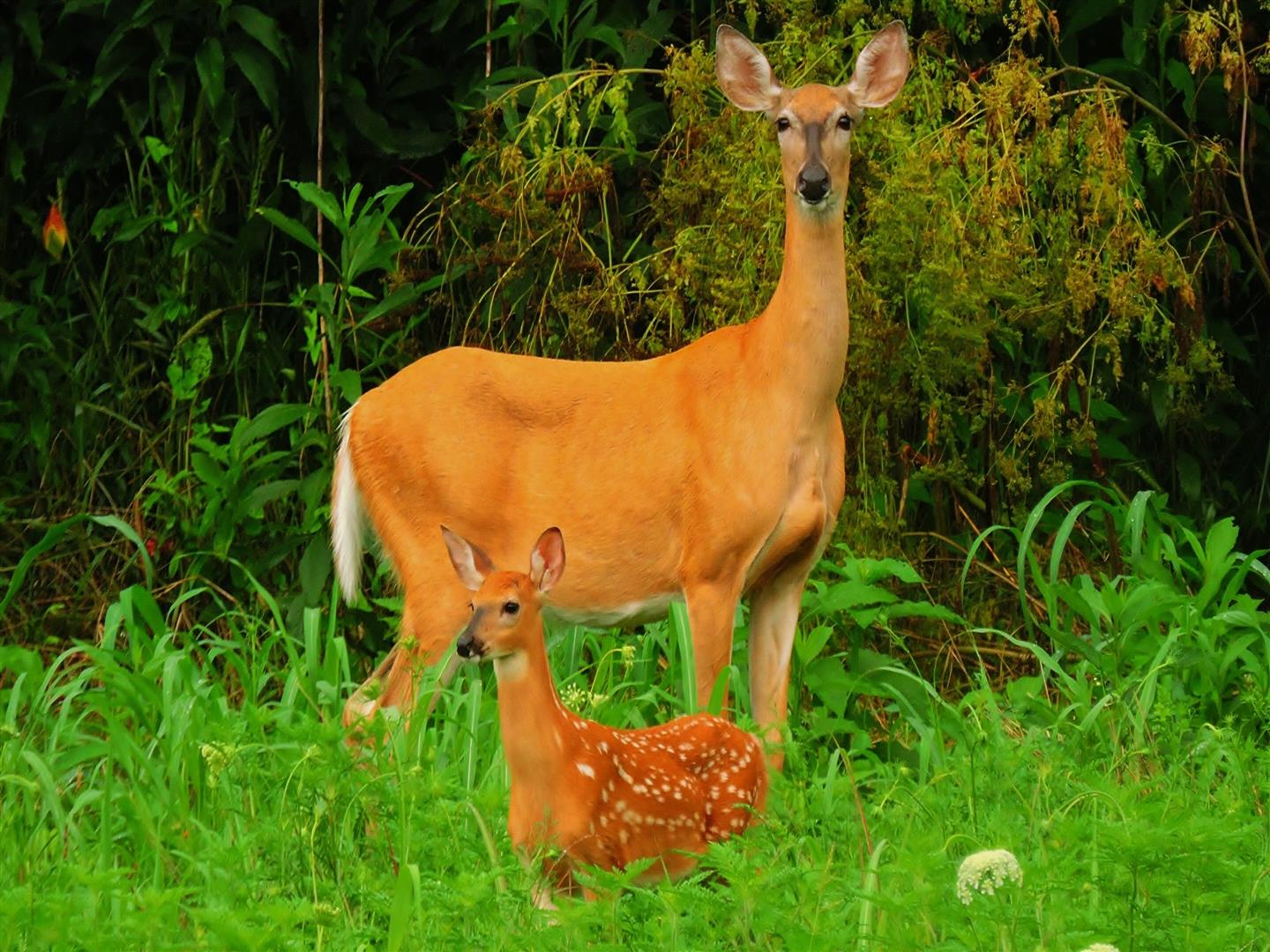 1440x1080 Wonderful Pic of Mother Deer with Cute Child