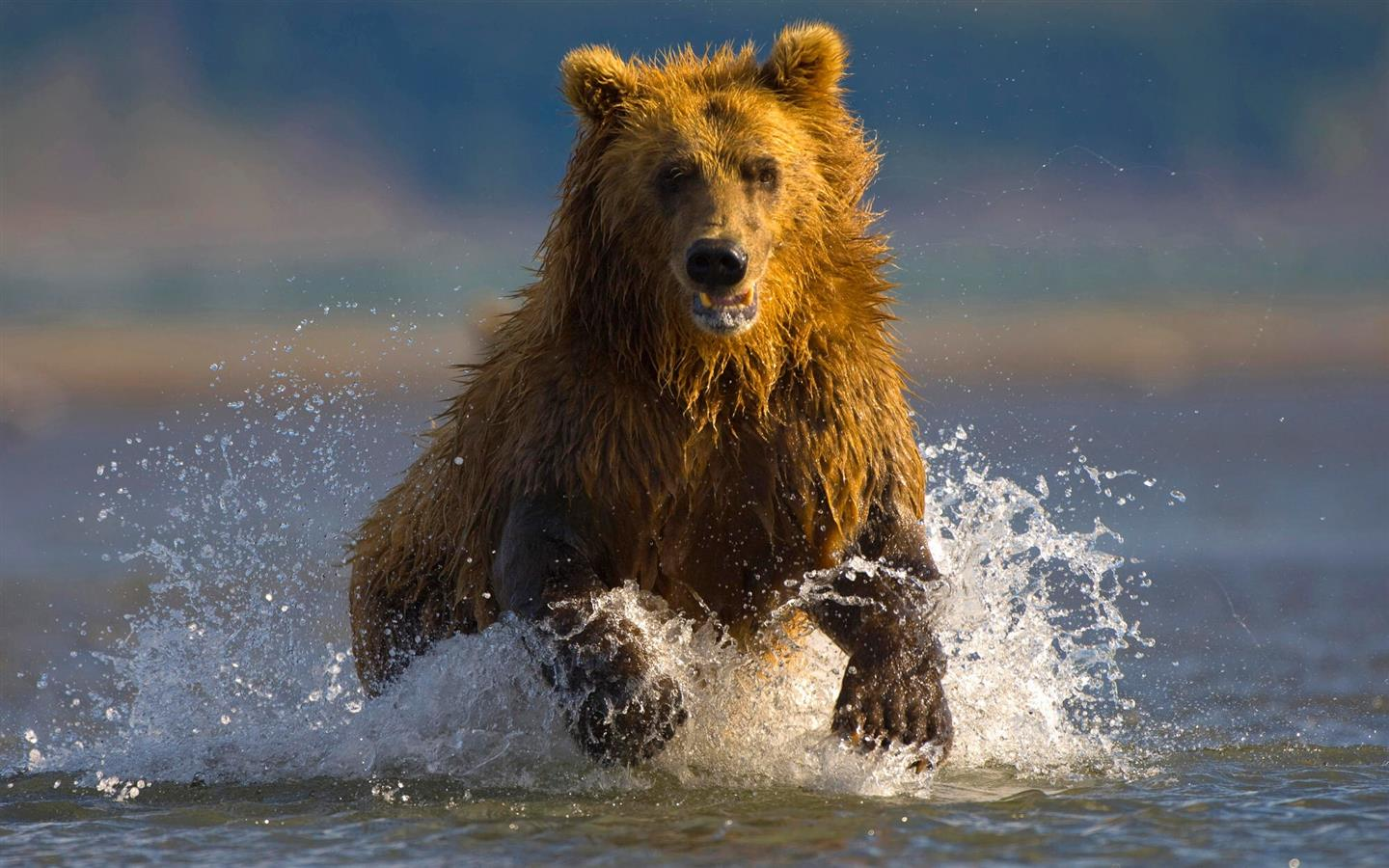1440x900 Animal Bear in River HD Wallpaper