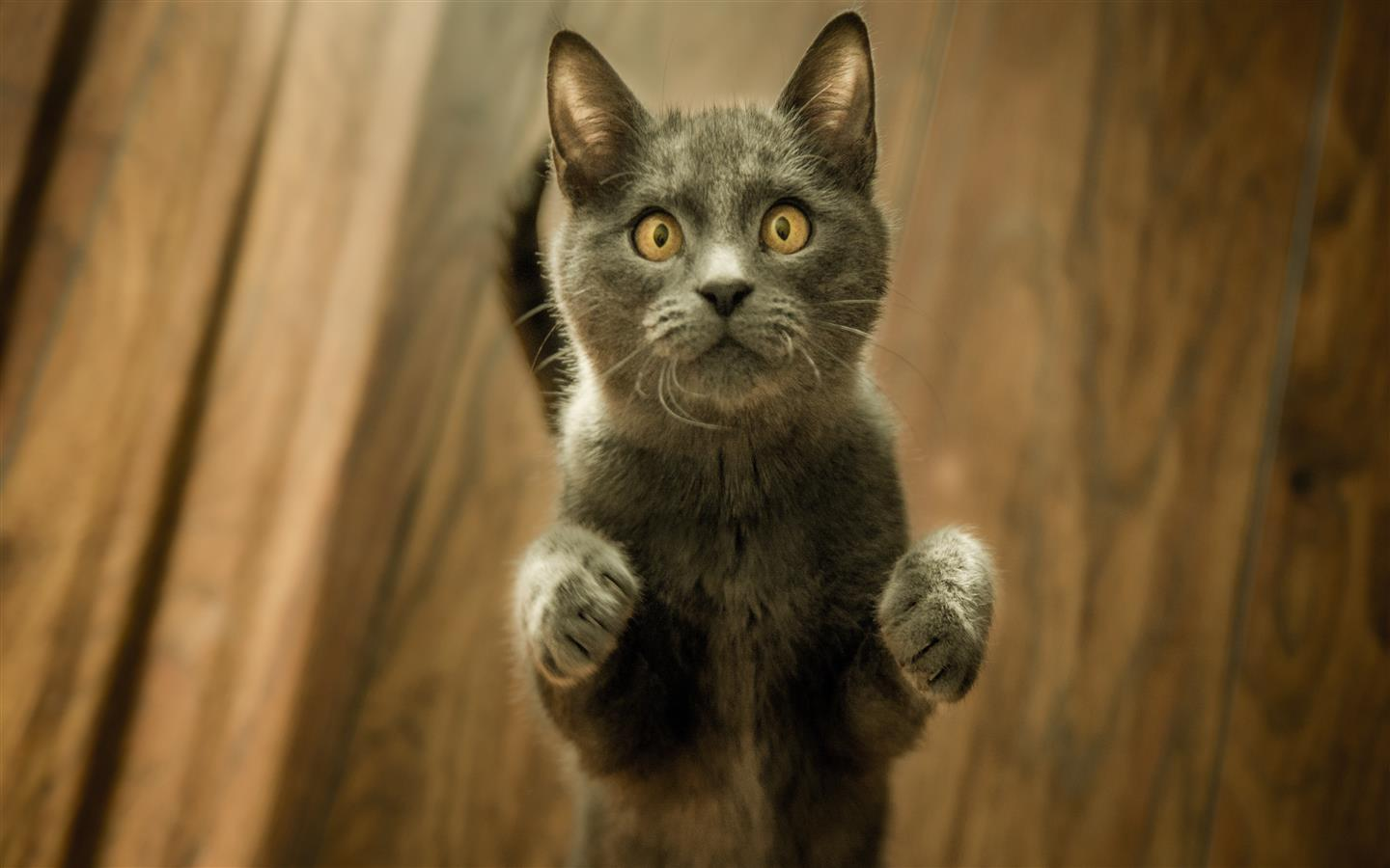 1440x900 Funny 5K Photo of Kitten Standing Up