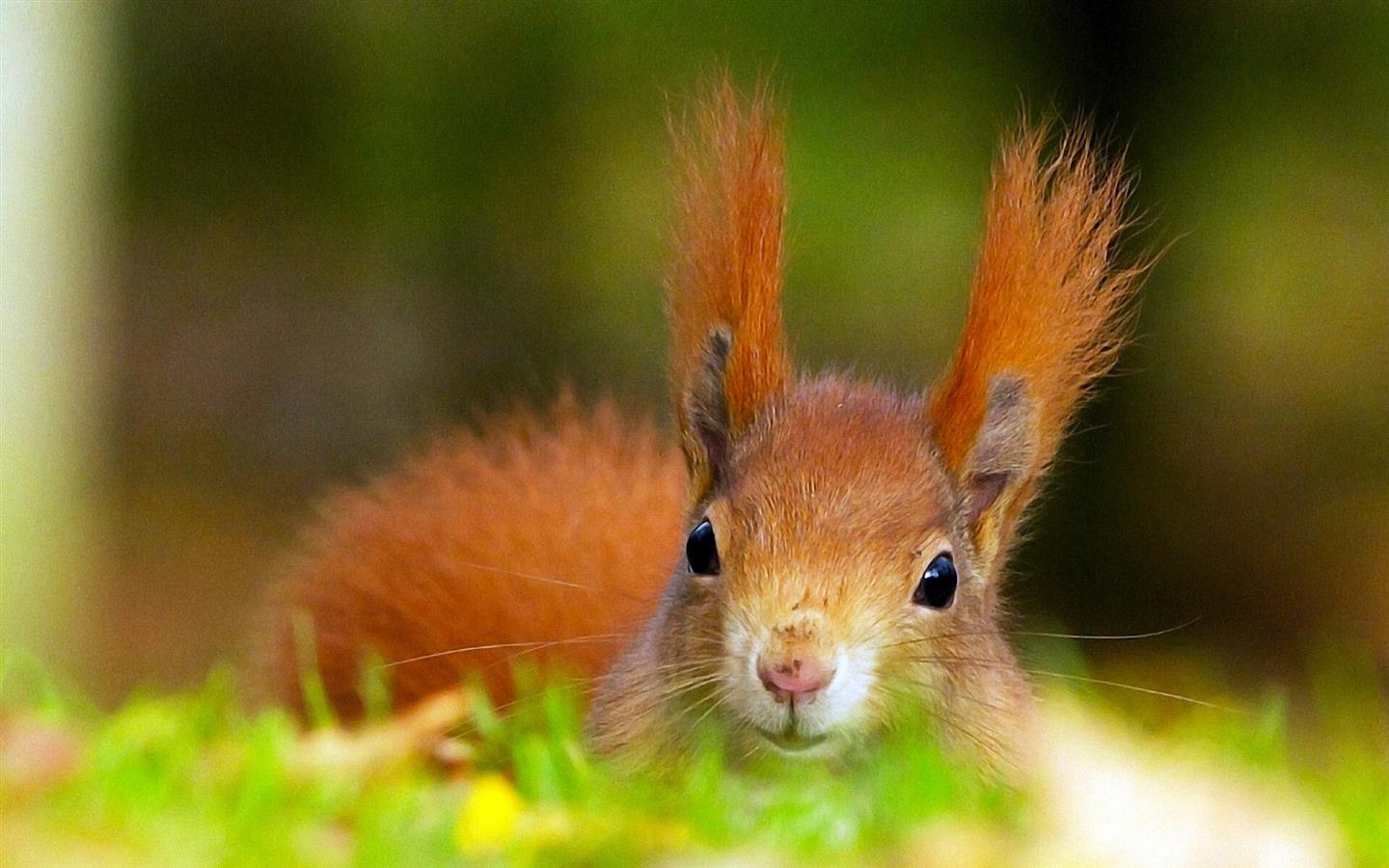 1440x900 HD Image Background of Animal Squirrel