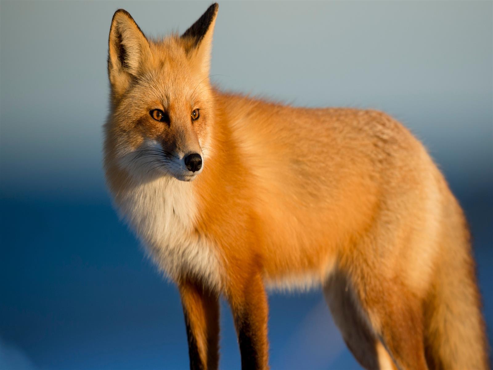 1600x1200 Animal Fox 4k Wallpaper
