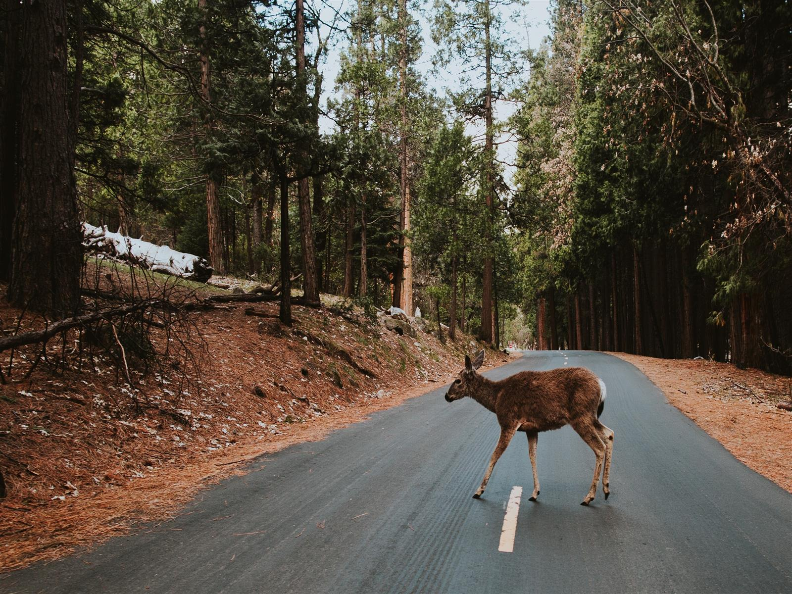 1600x1200 Deer Crossing Road in Yosemite National Park