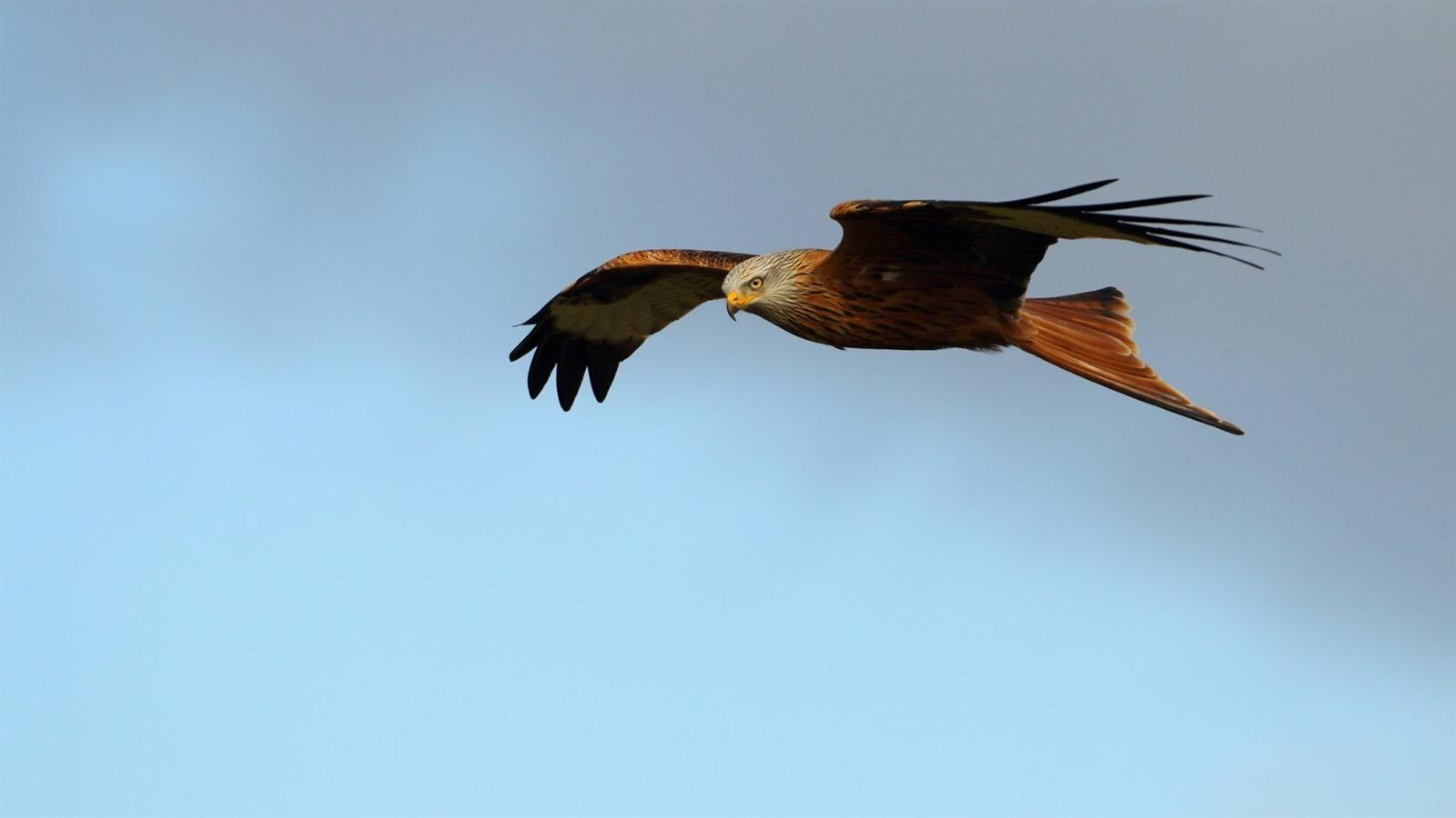 1600x900 Red Bird Kite in Sky Wallpaper