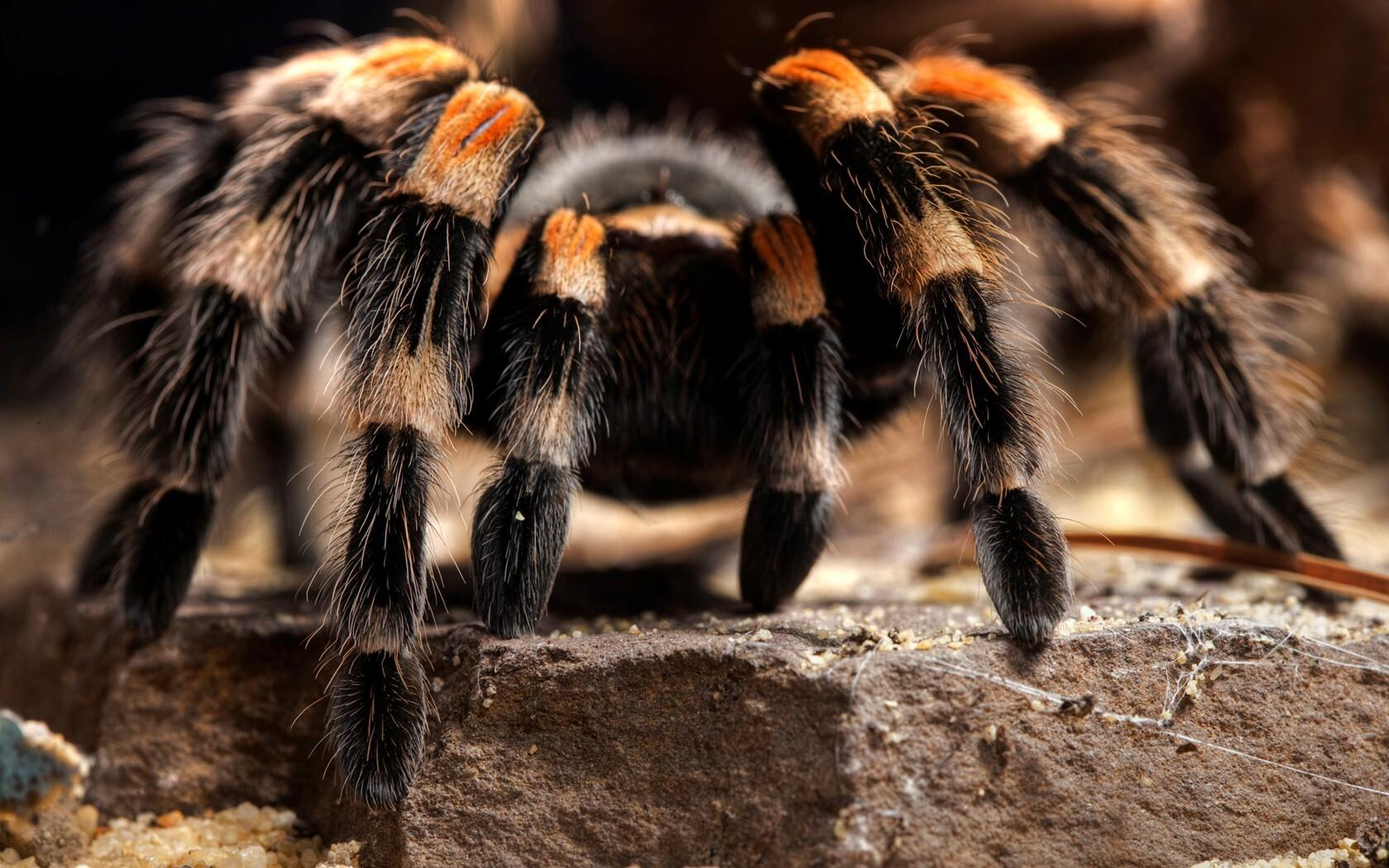 1680x1050 Big Hairy Spider Photo