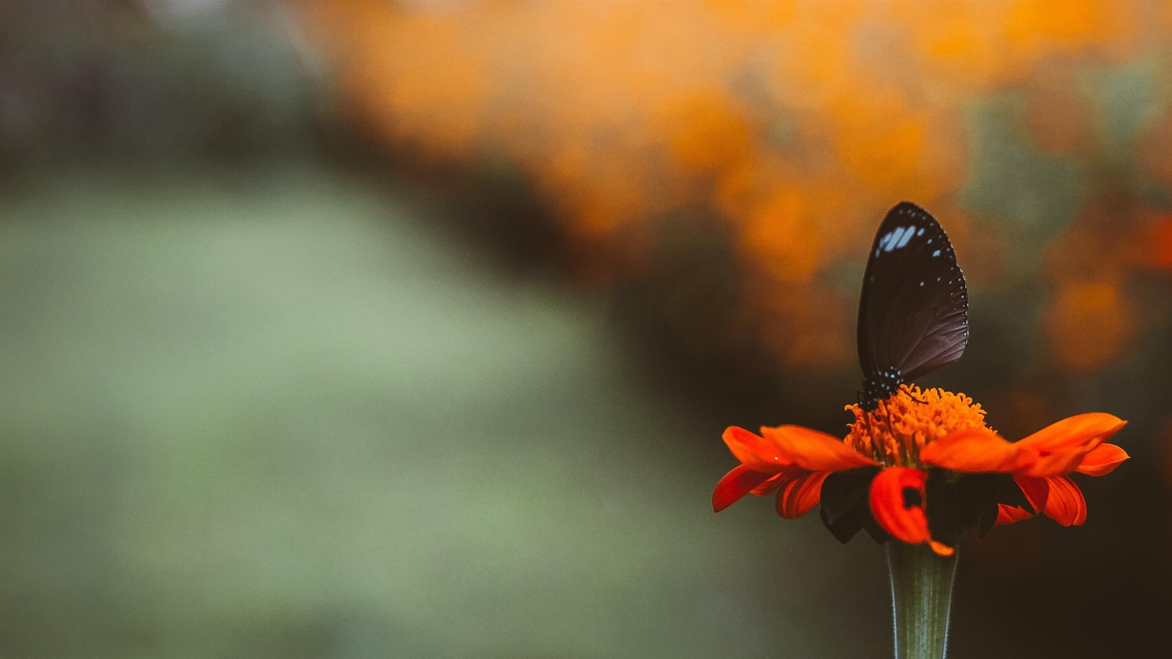 2400x1350 Black Butterfly on Orange Flower Famous Wallpaper