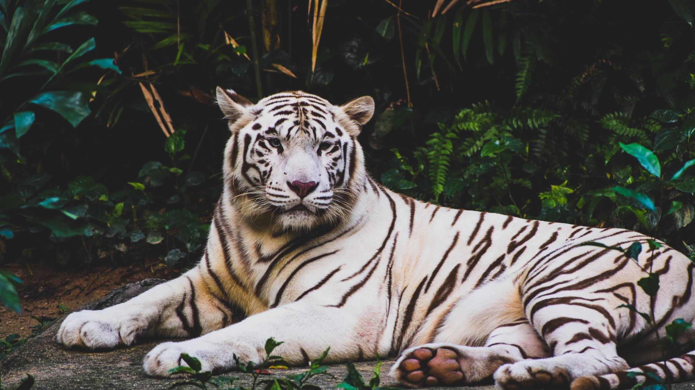 2400x1350 Wildlife White Tiger 5K Wallpaper