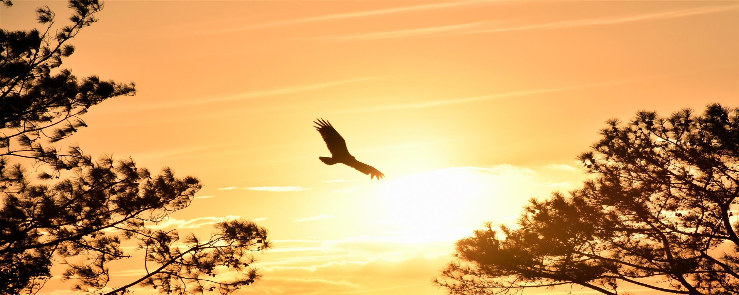 2560x1024 Eagle Flying in Sky During Sunset 4K Wallpapers