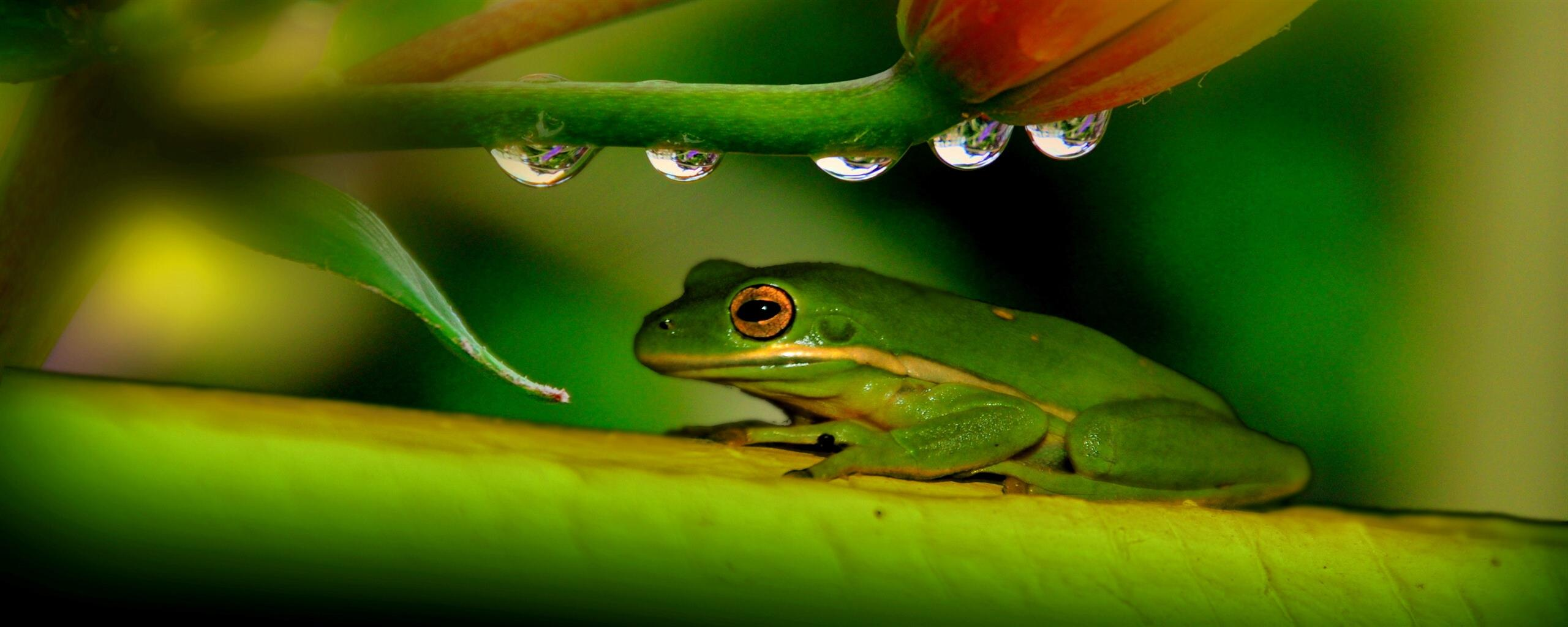 2560x1024 Green Frog On Leave Photo