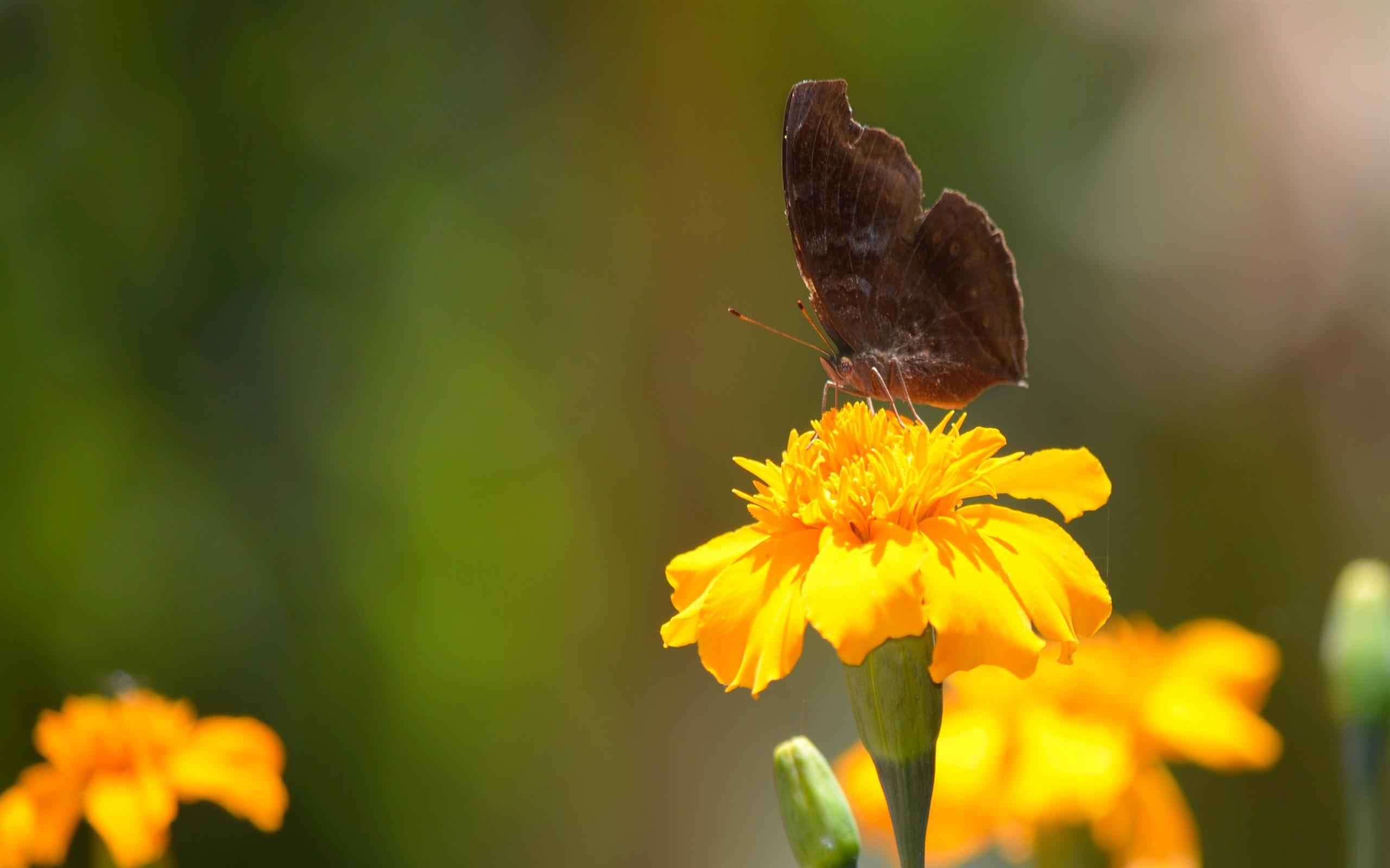 2560x1600 Butterfly on Yellow Flower 4K Wallpaper