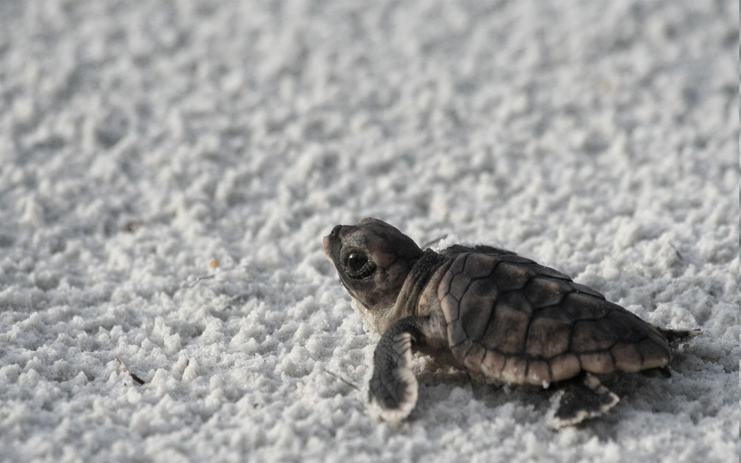 2880x1800 Baby Turtle on Beach