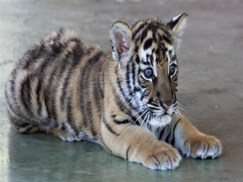 800x600 Cute Tiger Cub High Quality Photo