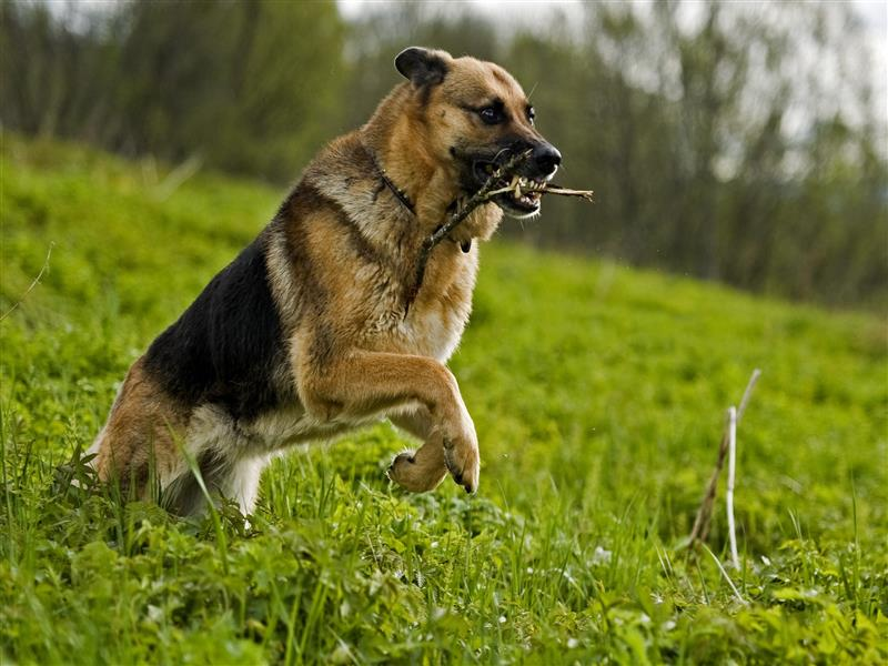 german shepherd wallpapers
