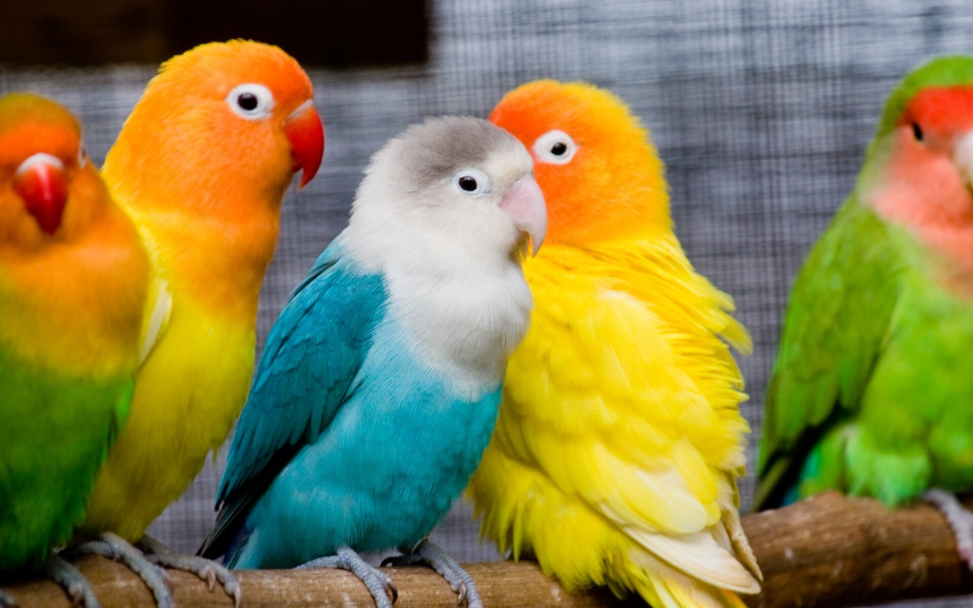 Colorful Love Birds Image Hd Wallpapers