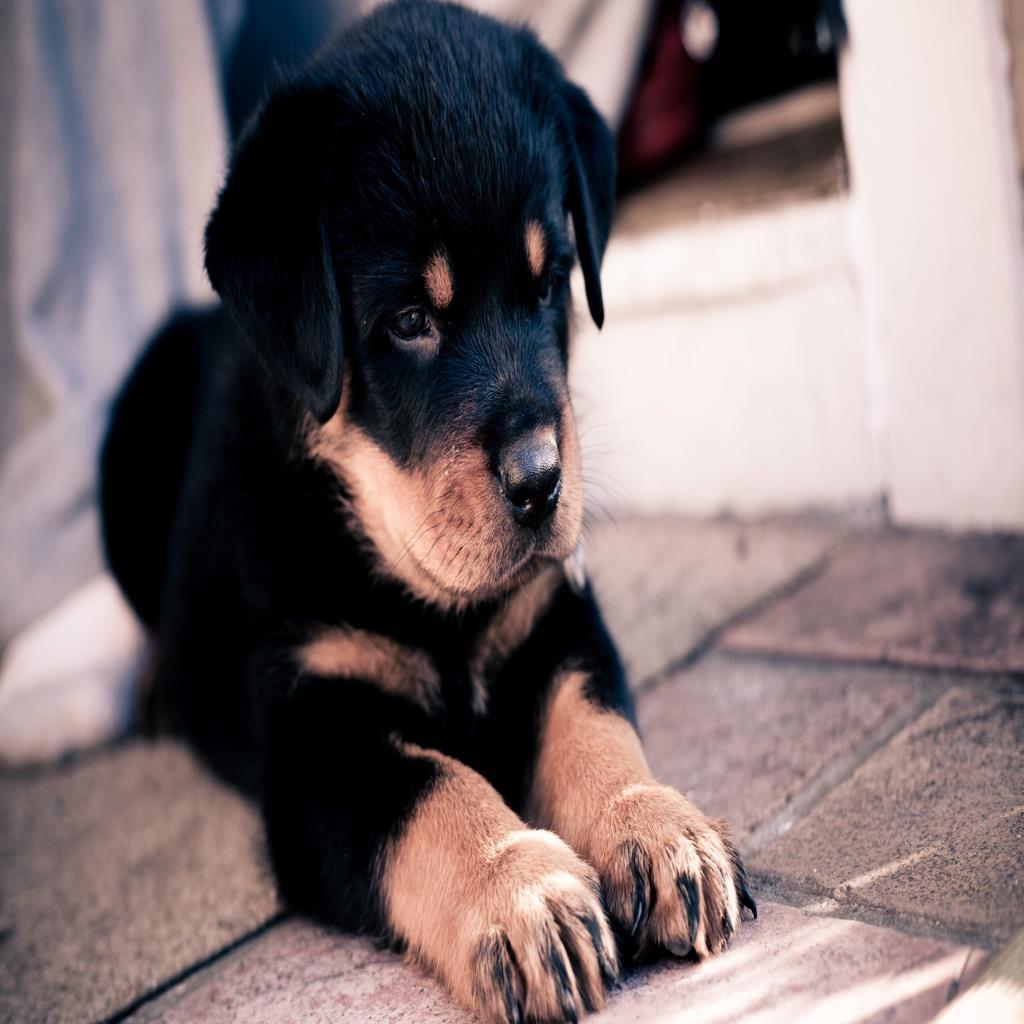 Cute Rottweiler Dog Child Wallpaper