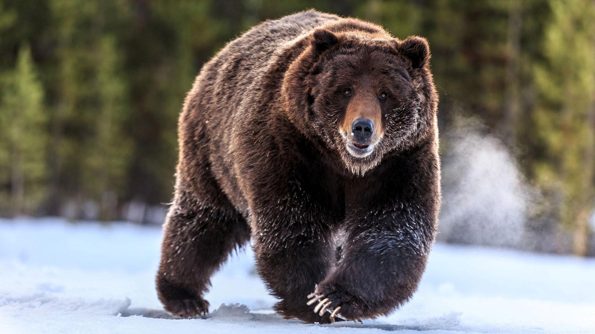 Animal Bear Wallpaper Hd Wallpapers