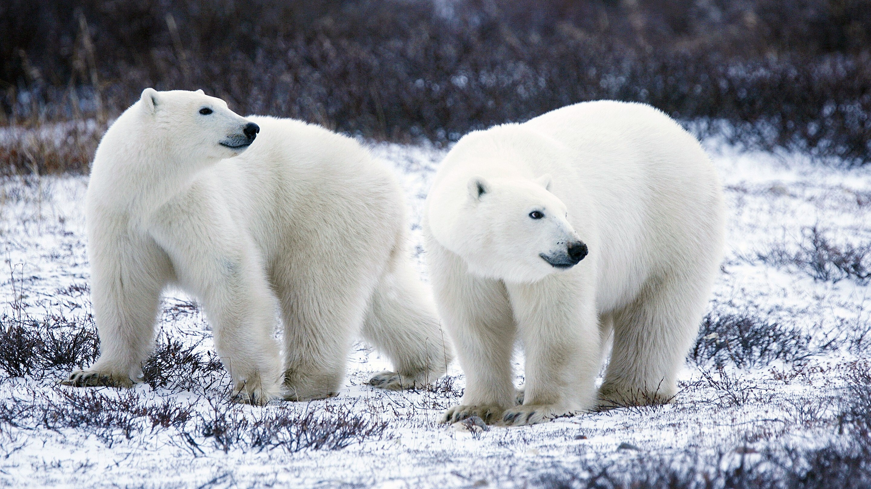 Animal Polar Bear Wallpaper | HD Wallpapers