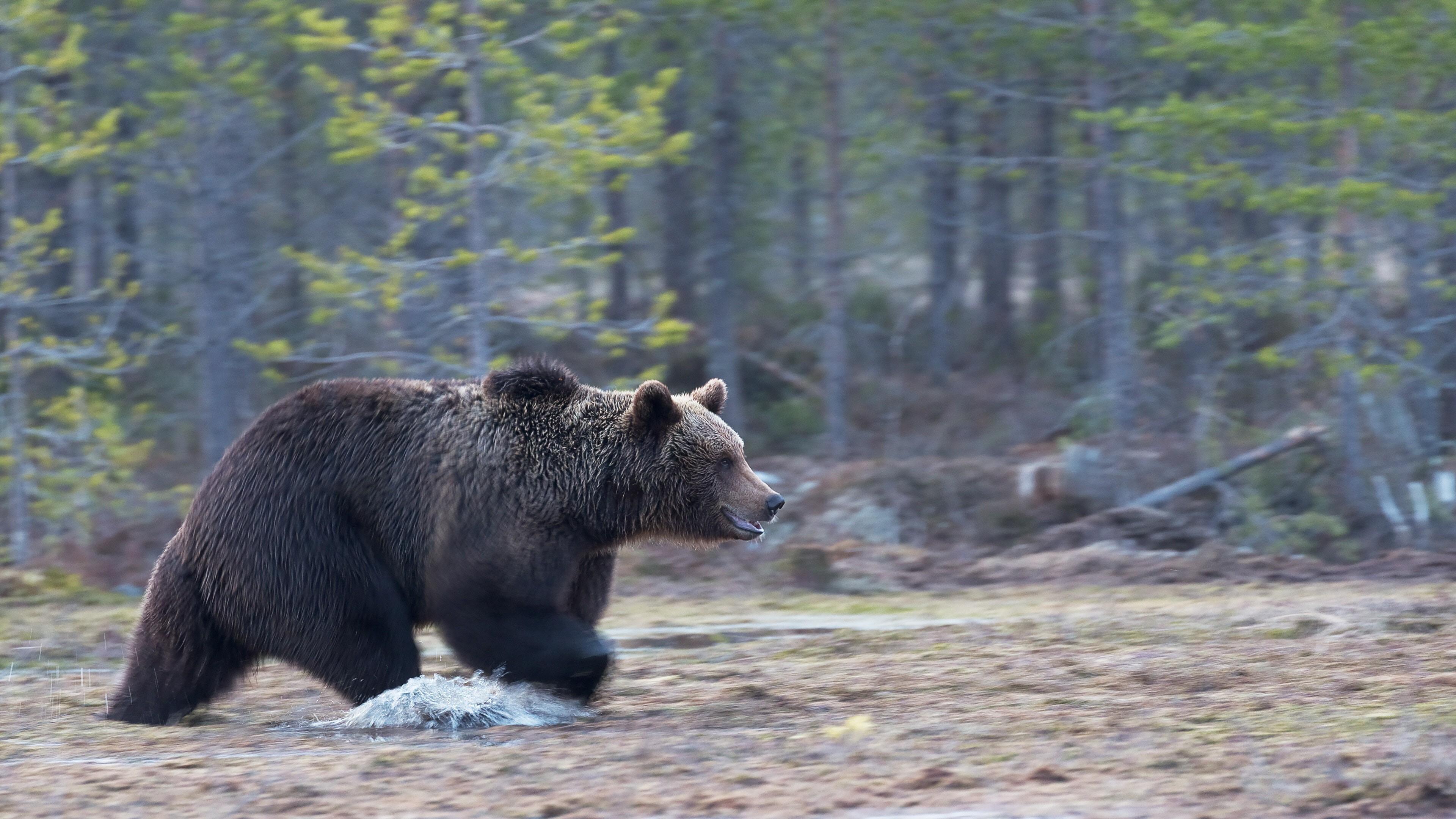 Bear In Forest River 4k Wallpaper Hd Wallpapers