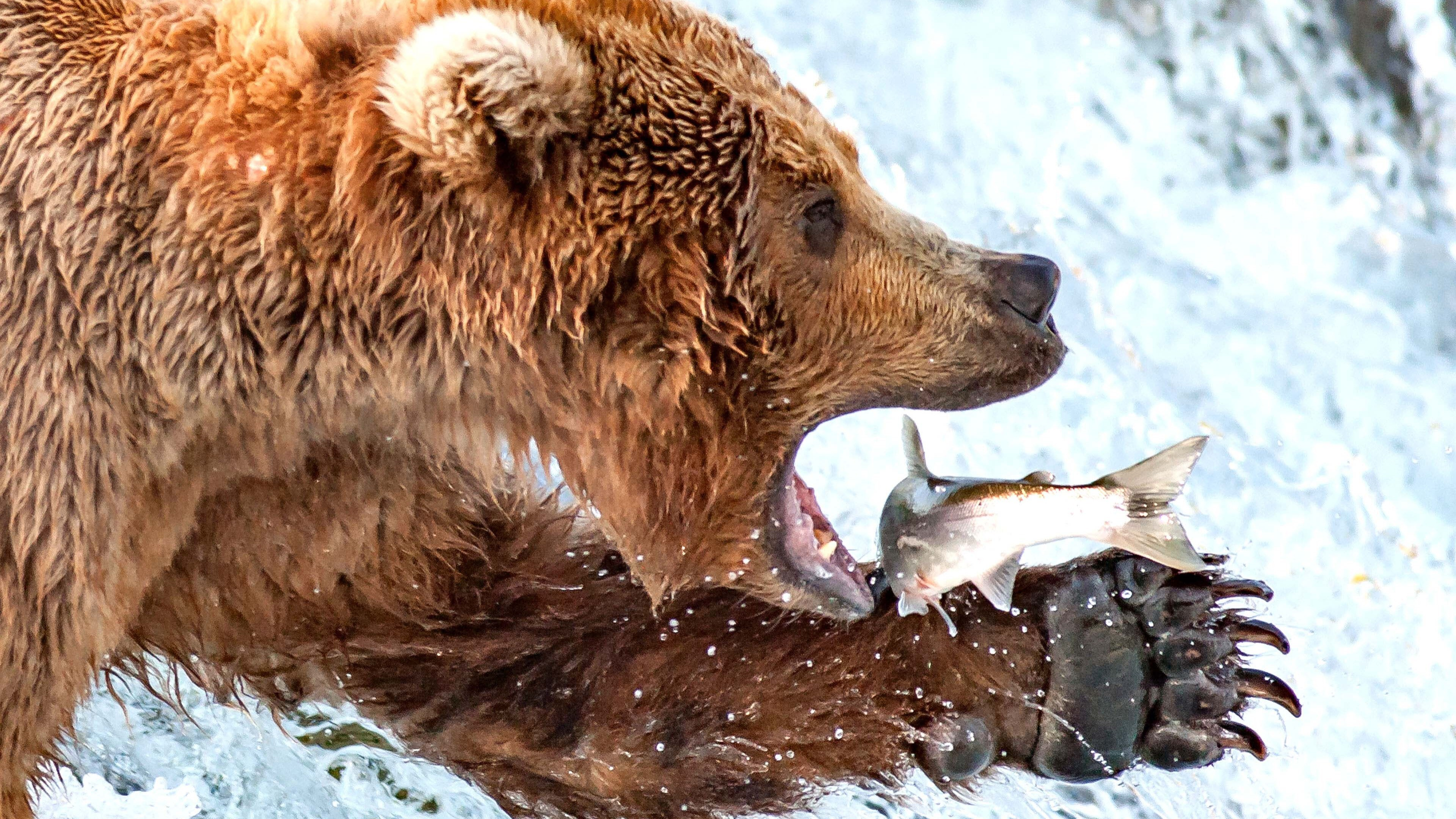 Brown bear eating fish hd wallpapers for Fish that eat other fish