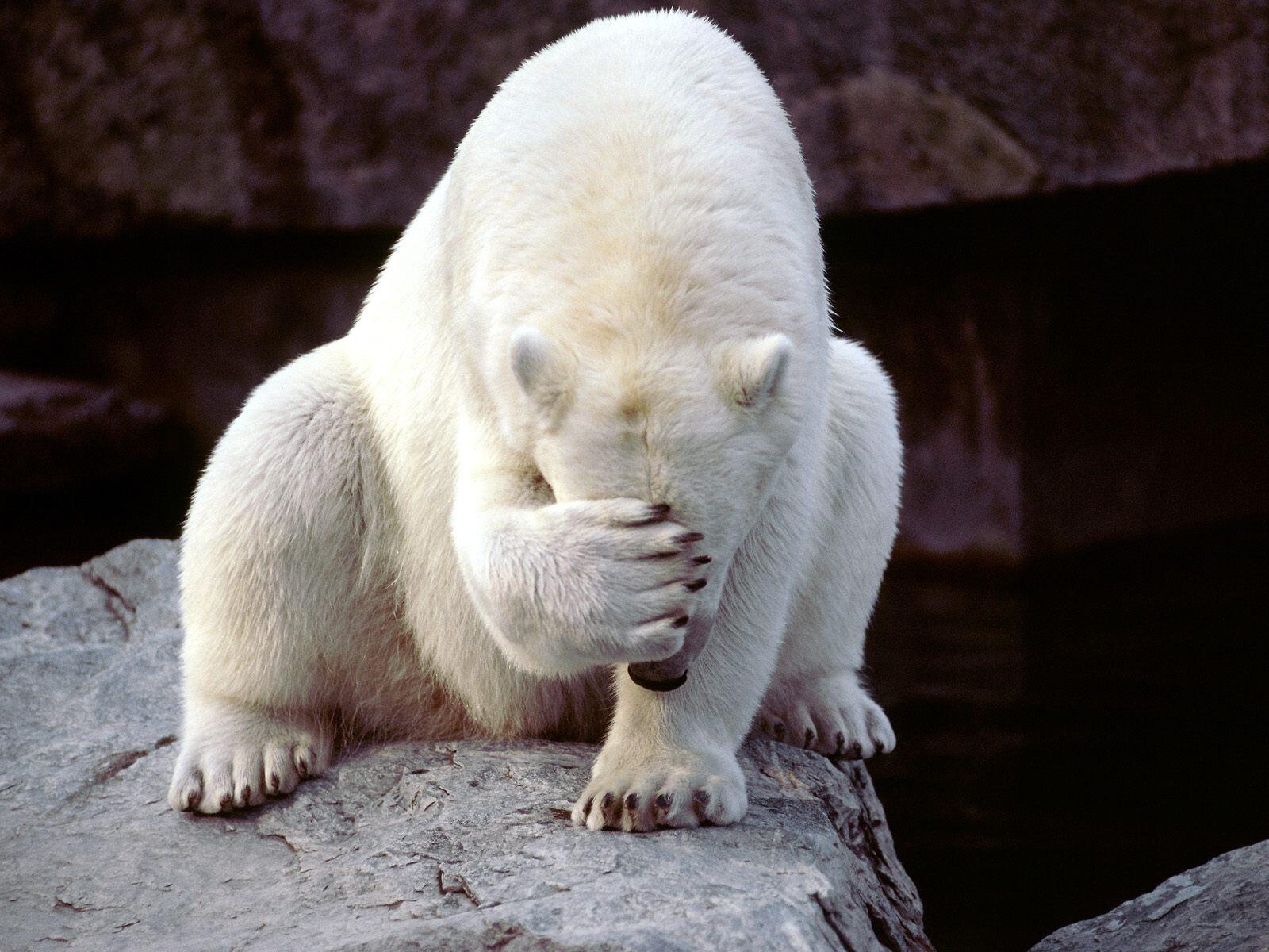White Bear Put Hand On Head Wild Animal Wallpaper