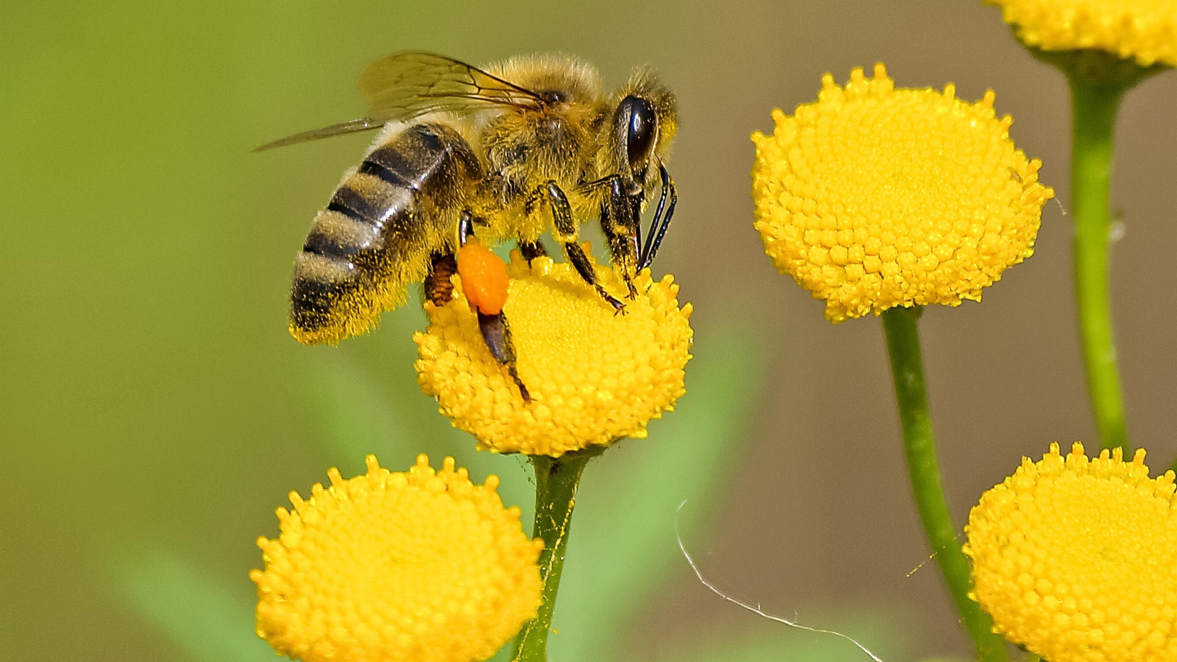Bee 4K Wallpaper
