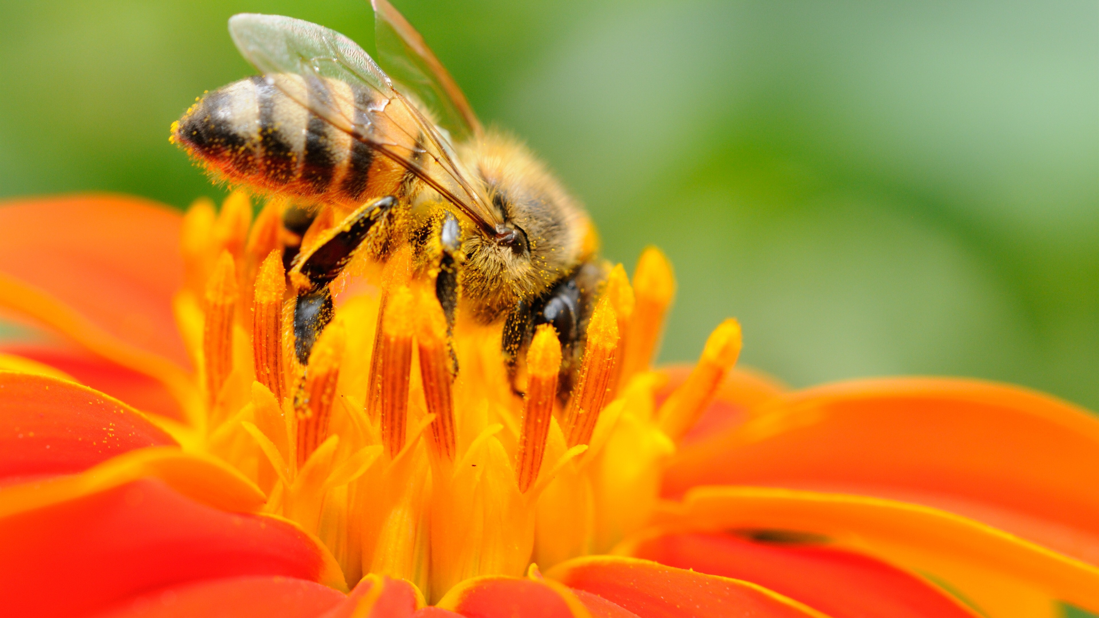 Bee Eating From Orange Flower | HD Wallpapers