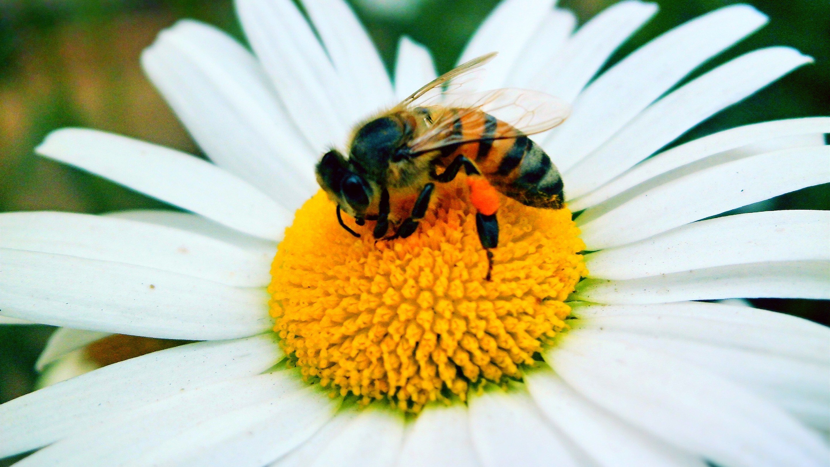 Bee On White Flower Pollination