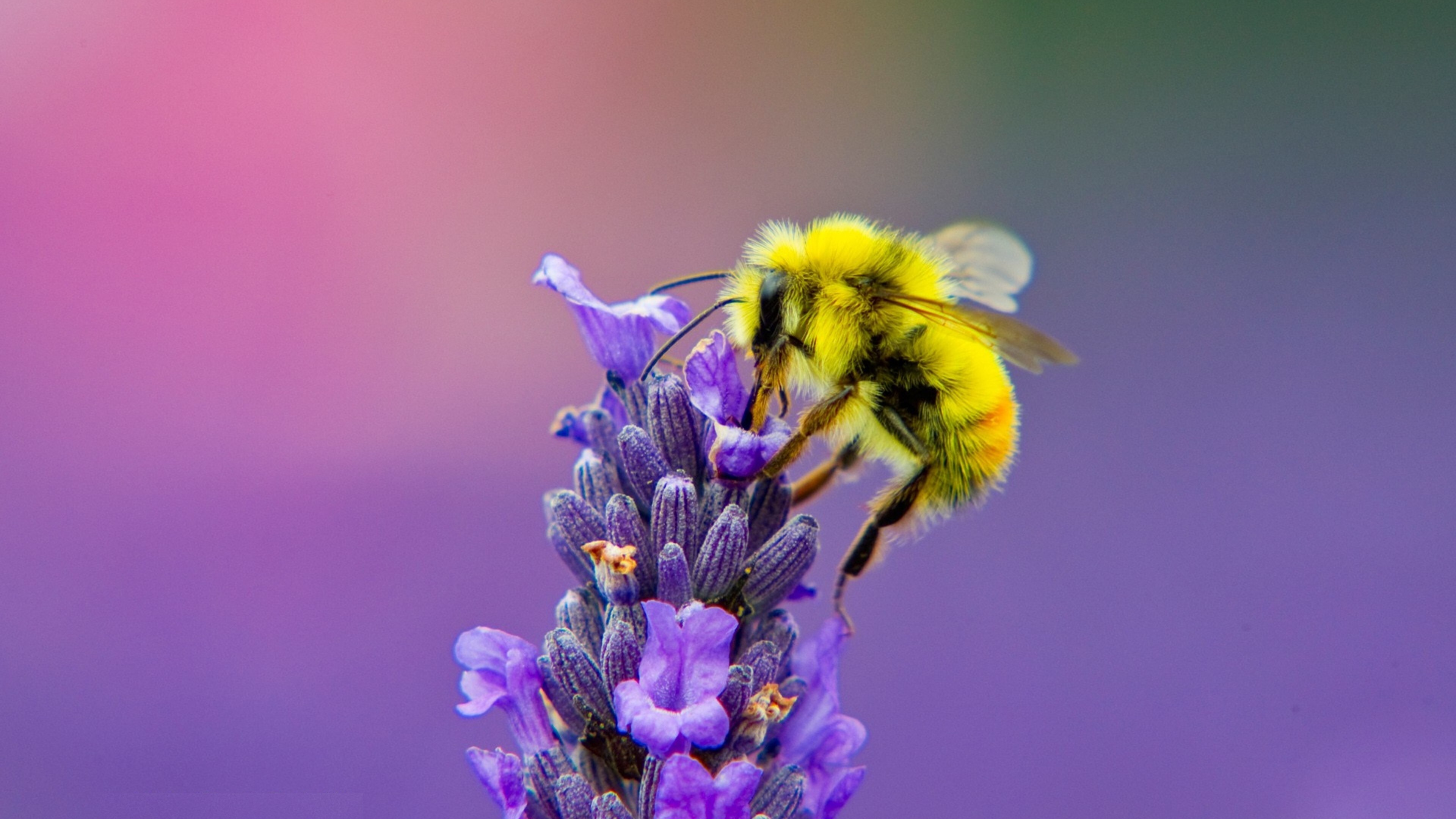 Yellow Honey Bee On Lavender 4k Photo Hd Wallpapers