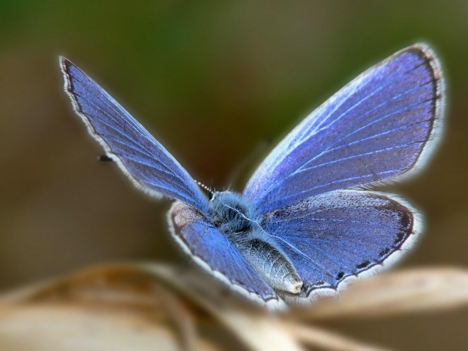 Beautiful Blue Butterfly Wallpaper   HD Wallpapers