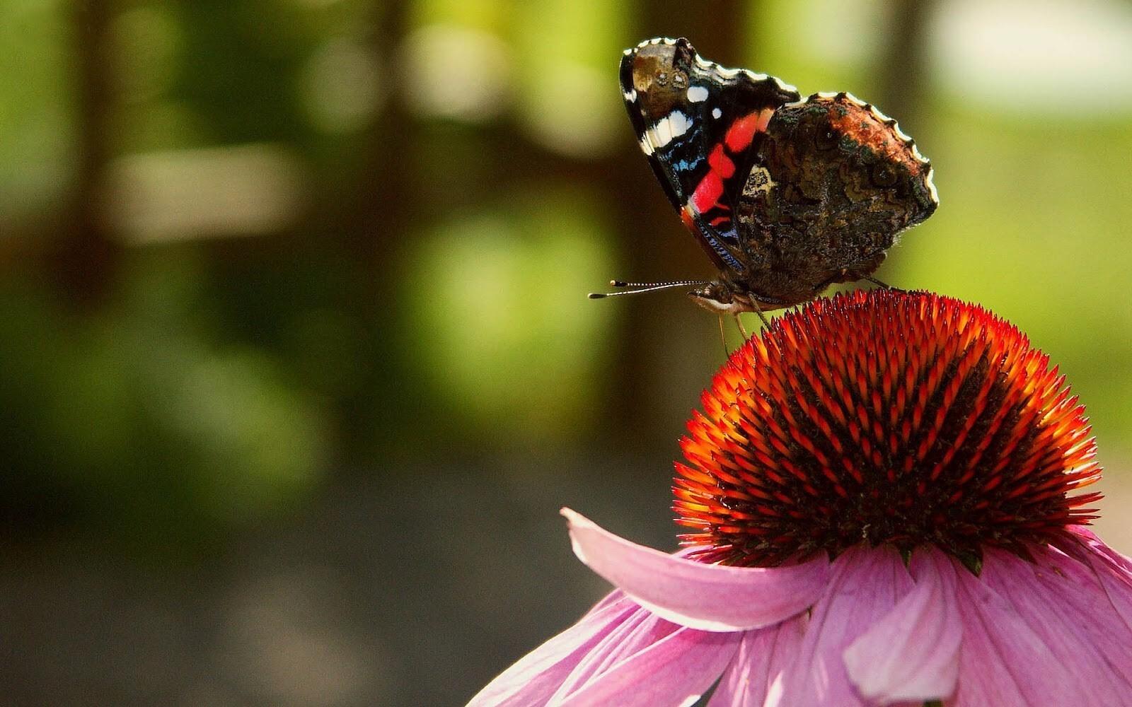 Beautiful Butterfly on Flower HD Wallpapers | HD Wallpapers