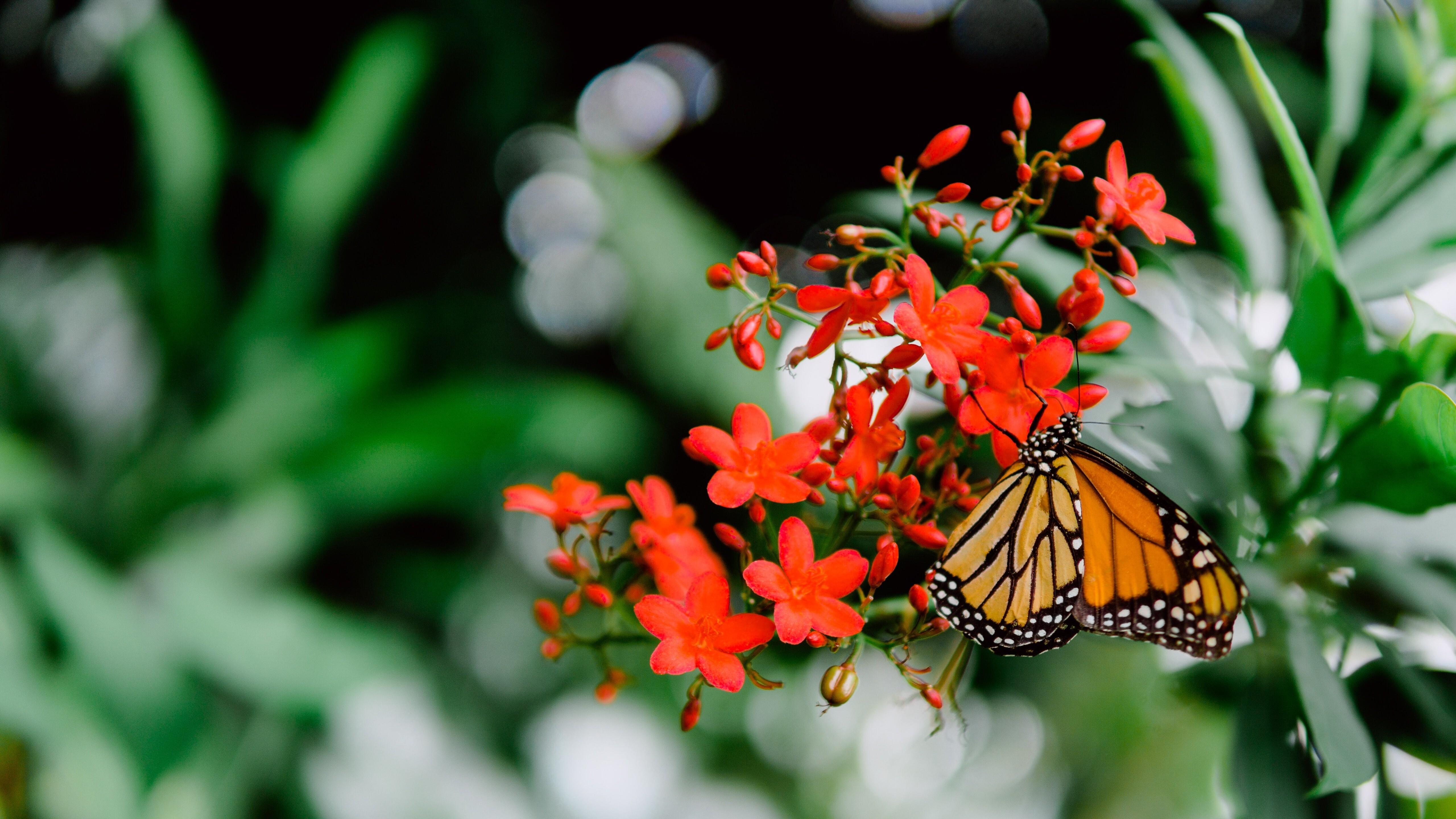 Butterfly On Beautiful Red Flower 5k Wallpaper Hd Wallpapers