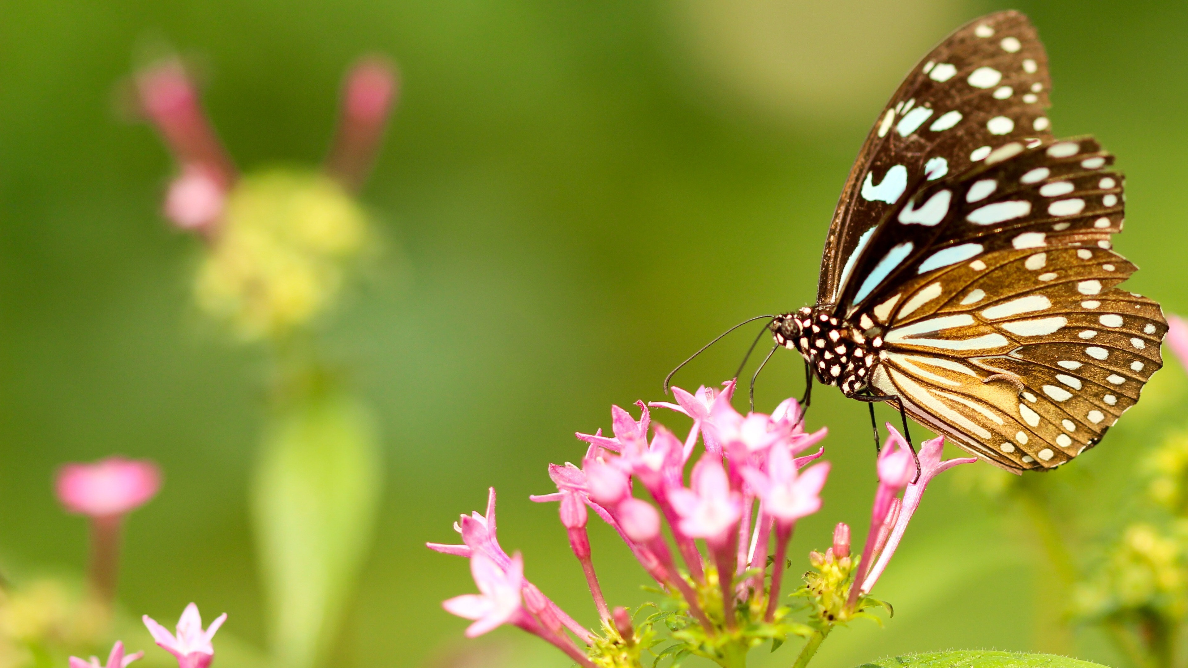 Butterfly on Top of Pink Flowers | HD Wallpapers