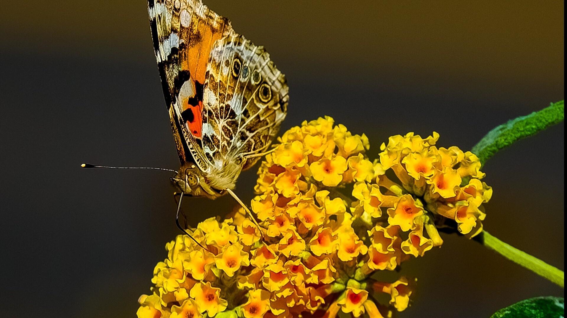 Butterfly on Yellow Flower Dazzling Wallpaper | HD Wallpapers