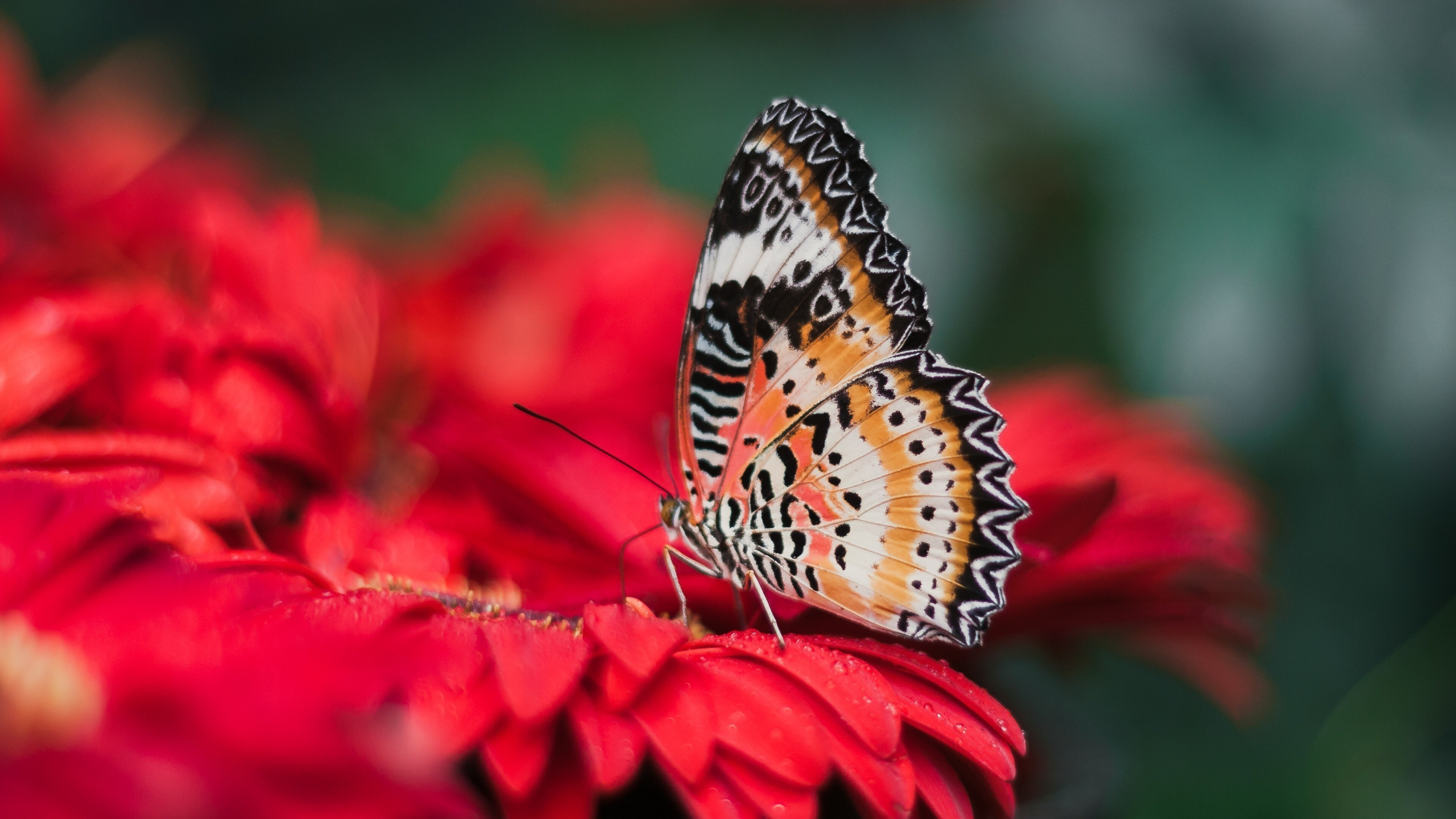 Free Colorful Flower Wallpaper Downloads: Colorful Butterfly On Red Flower 4K Wallpaper