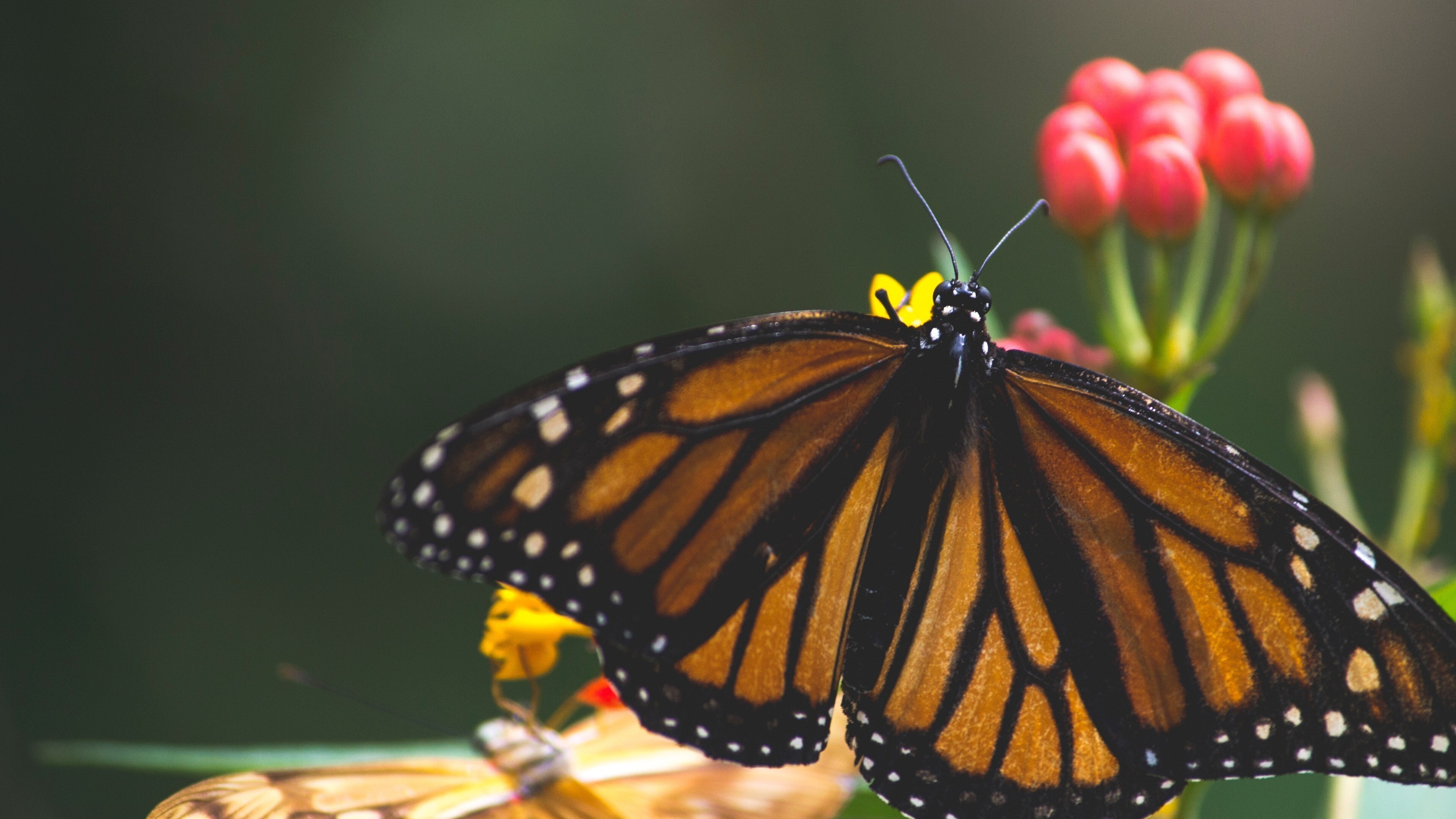 Insect Butterfly 4K Image | HD Wallpapers