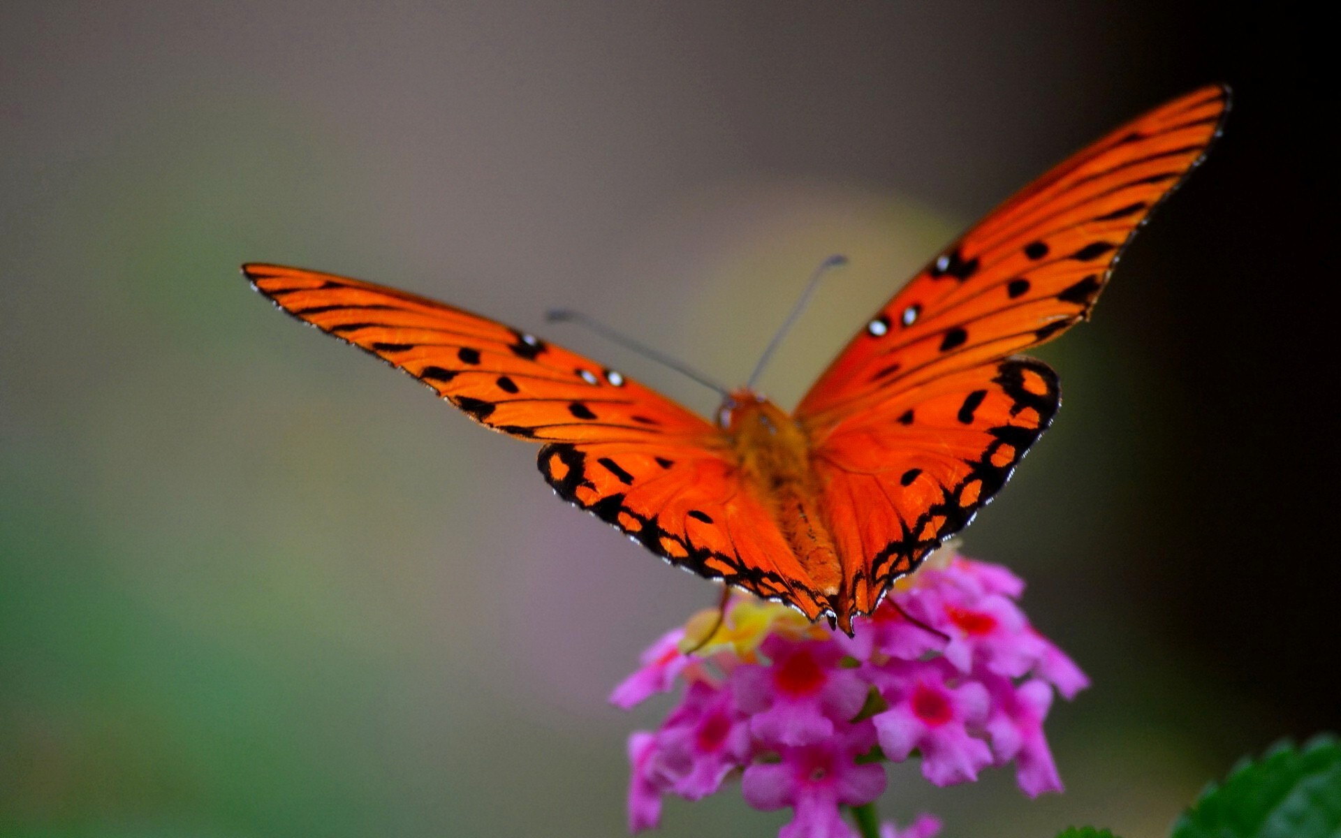 Aninimal Book: Orange Butterfly Photo   HD Wallpapers