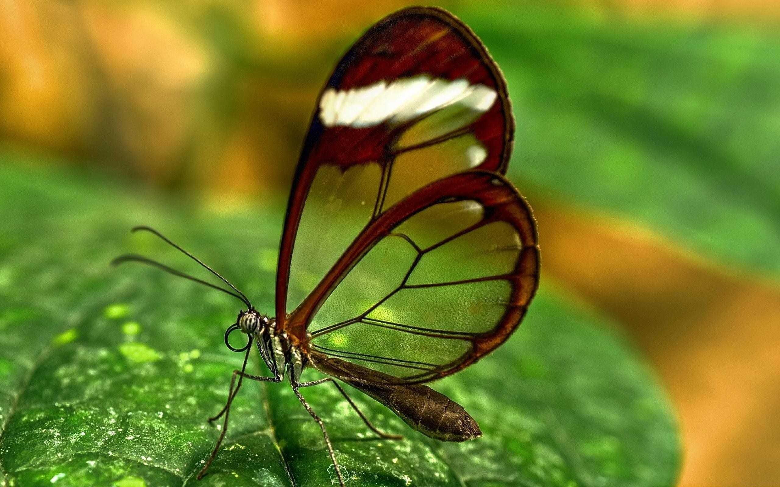 Transparent butterfly hd wallpaper hd wallpapers for Butterfly wallpaper for walls