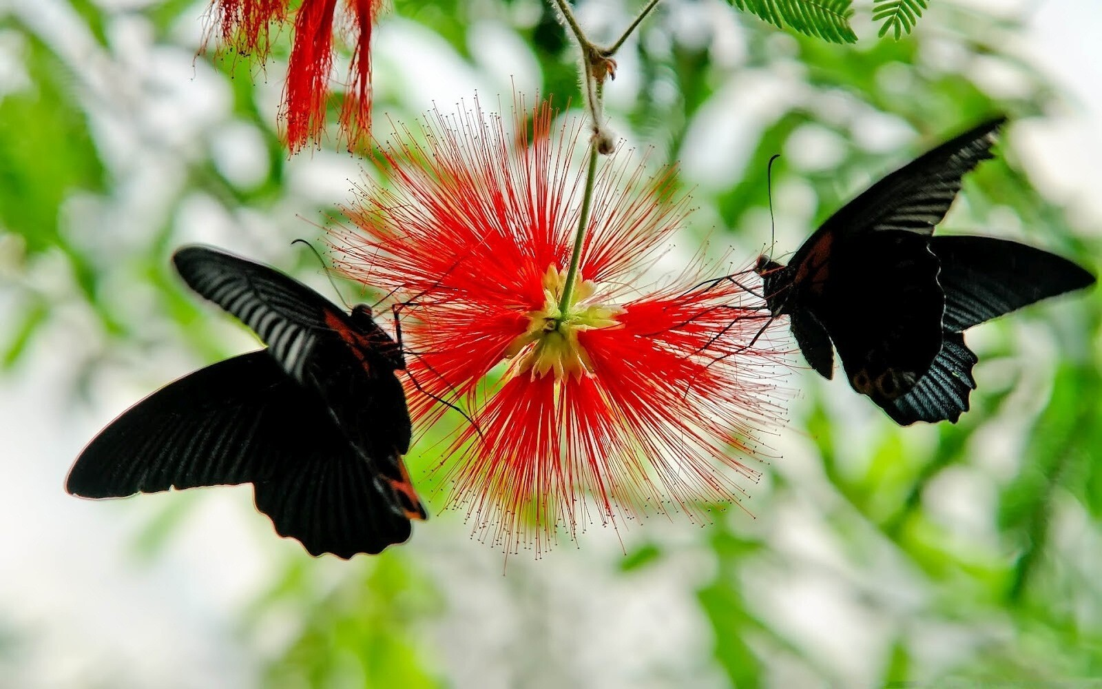 Two Black Butterfly on Flower | HD Wallpapers